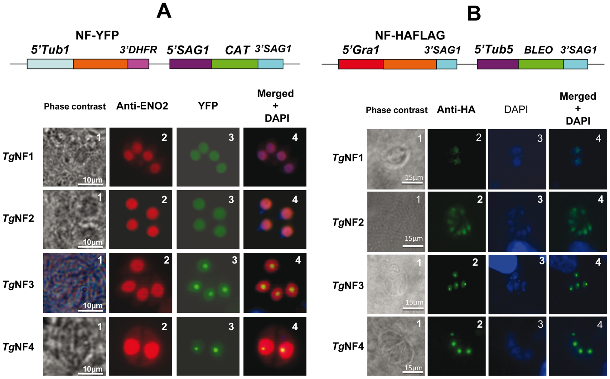 Four chosen candidate factors binding to ENO1 promoter are targeted into <i>T. gondii</i> nucleus after transient transfection.