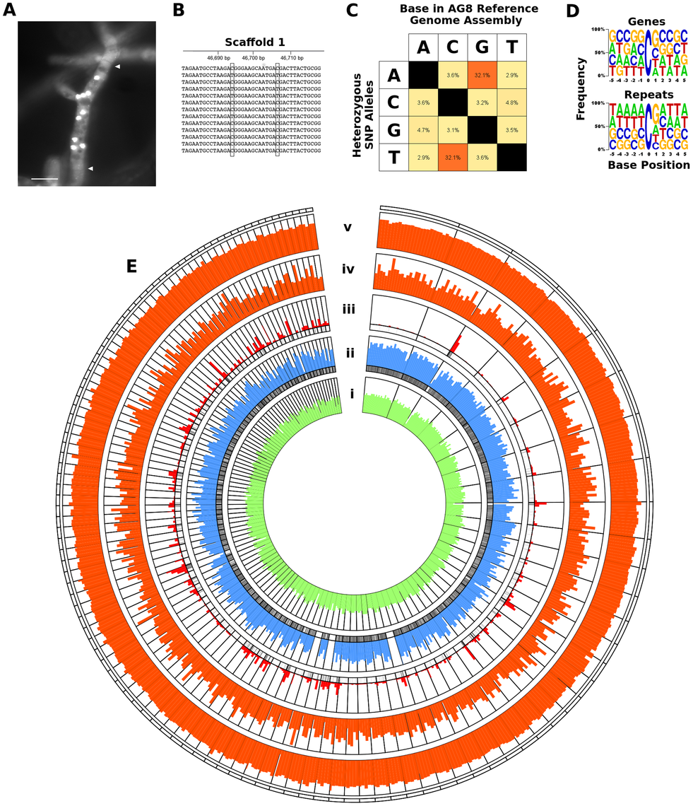 RIP-like mutation was observed across repetitive and gene-encoding regions of the <i>R. solani</i> AG8 assembly.