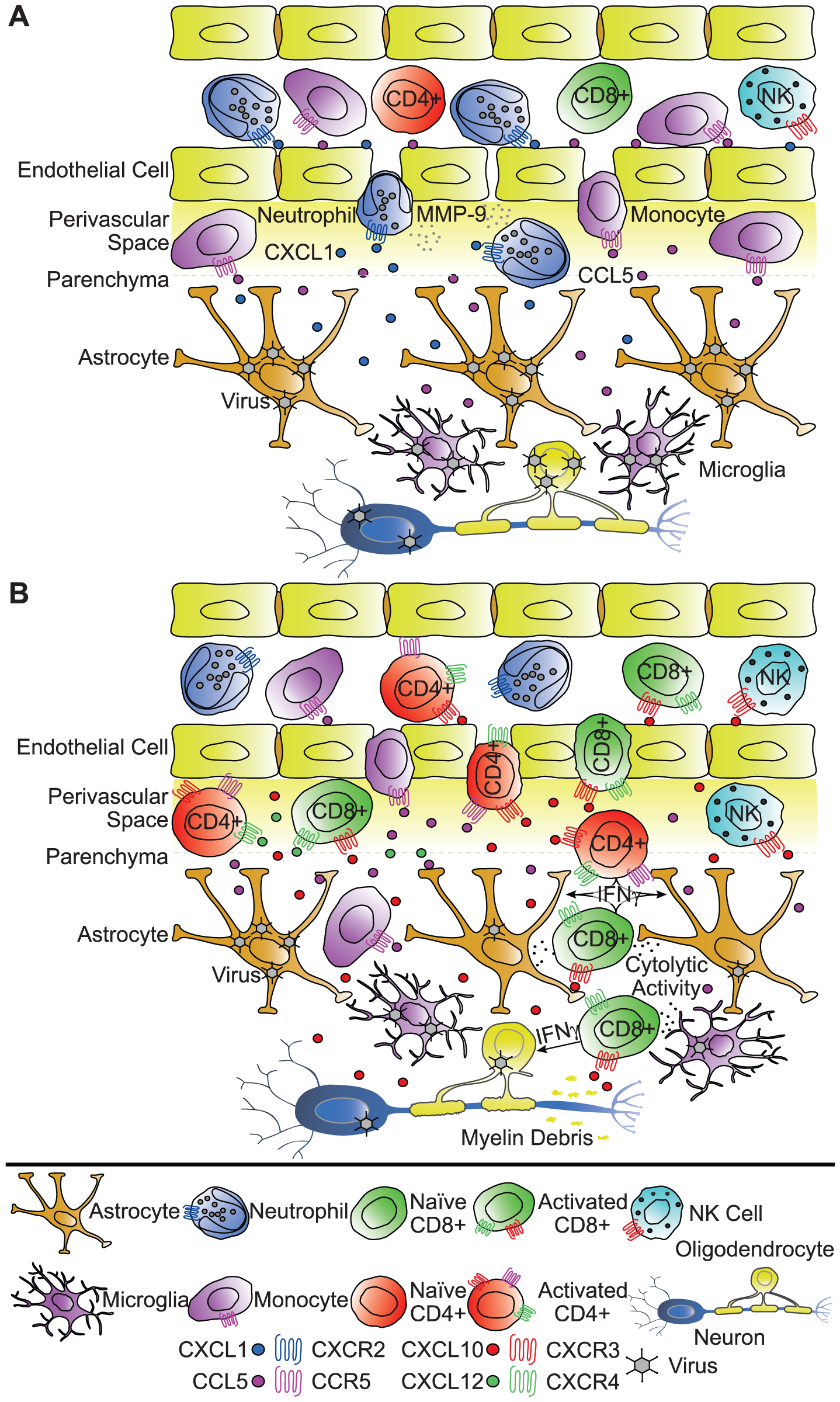 Functional roles of chemokines in response to viral infection of the CNS.