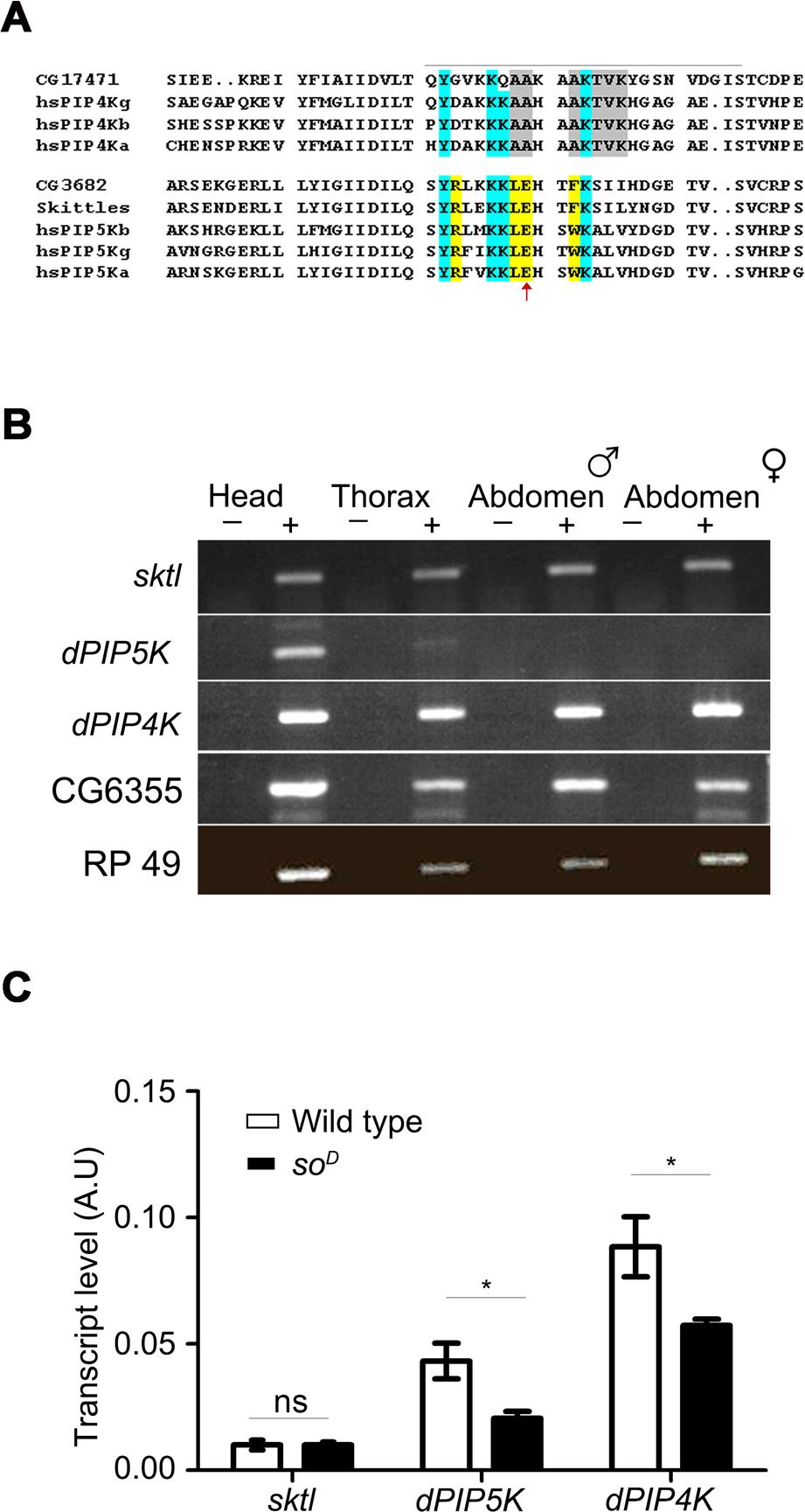 PIP kinase genes in <i>Drosophila</i> genome.