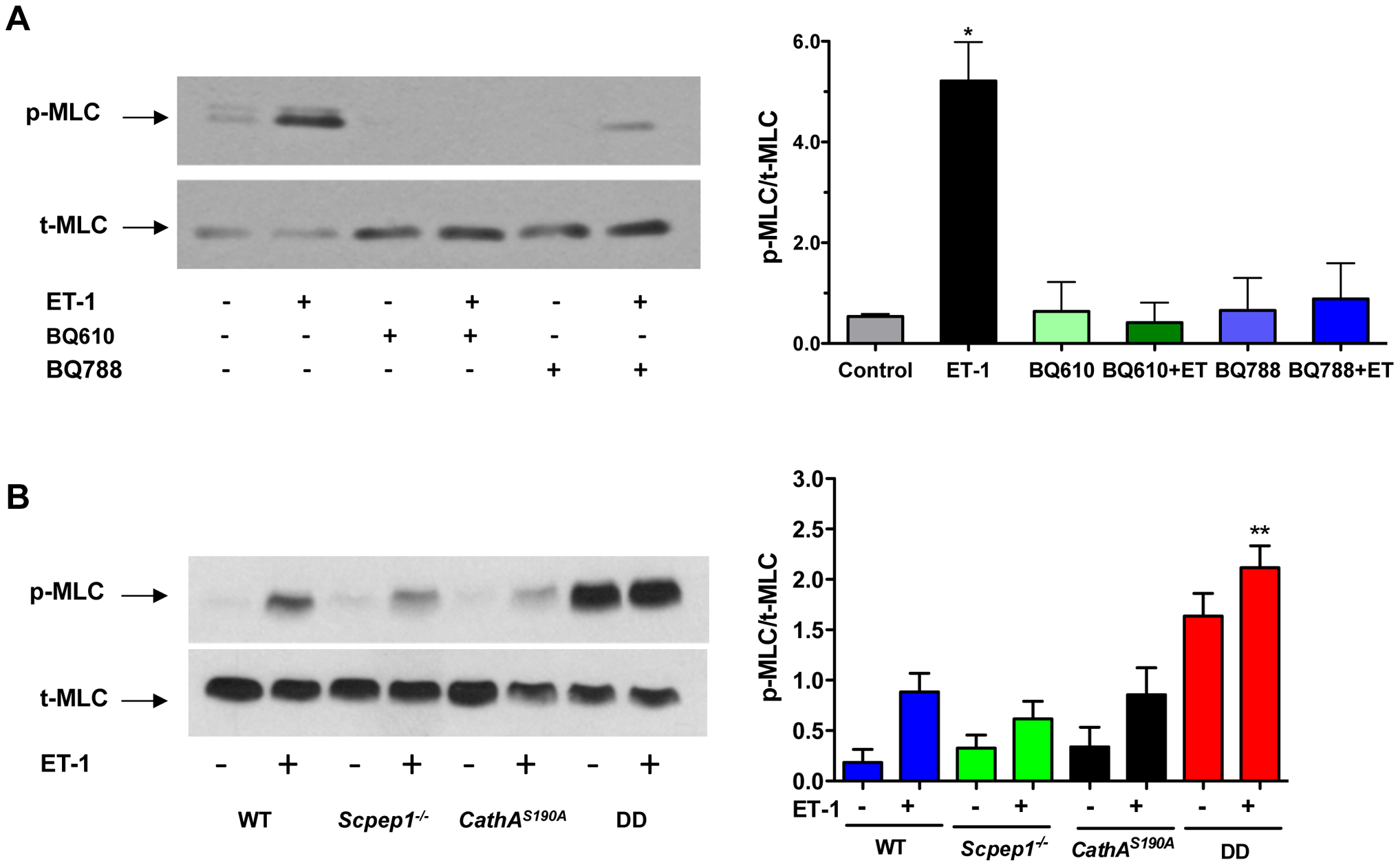 Cultured AVSMC from mice with combined CathA/Scpep1 deficiency show increased reactivity to ET-1.