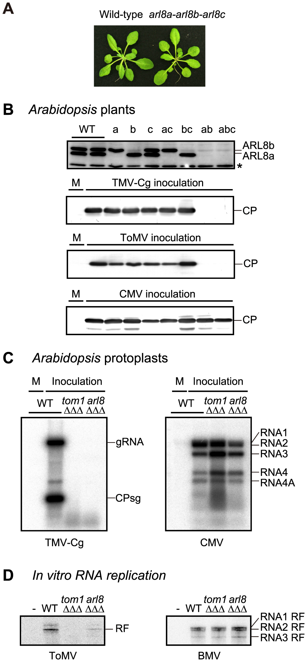 Effects of single and multiple mutations in <i>A. thaliana ARL8</i> family members on virus multiplication.