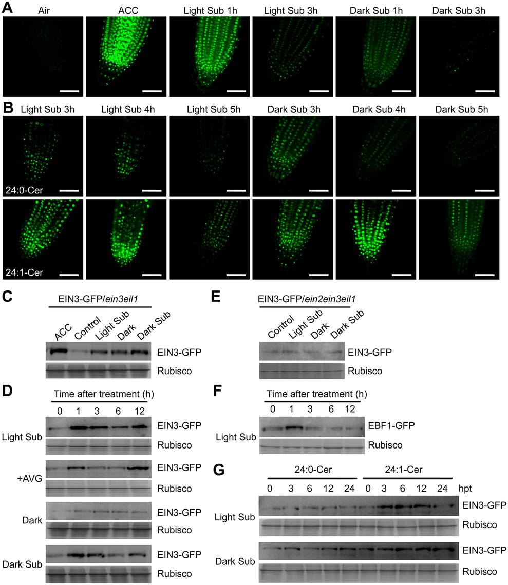 Stabilization of EIN3-GFP protein by ceramides and hypoxia.
