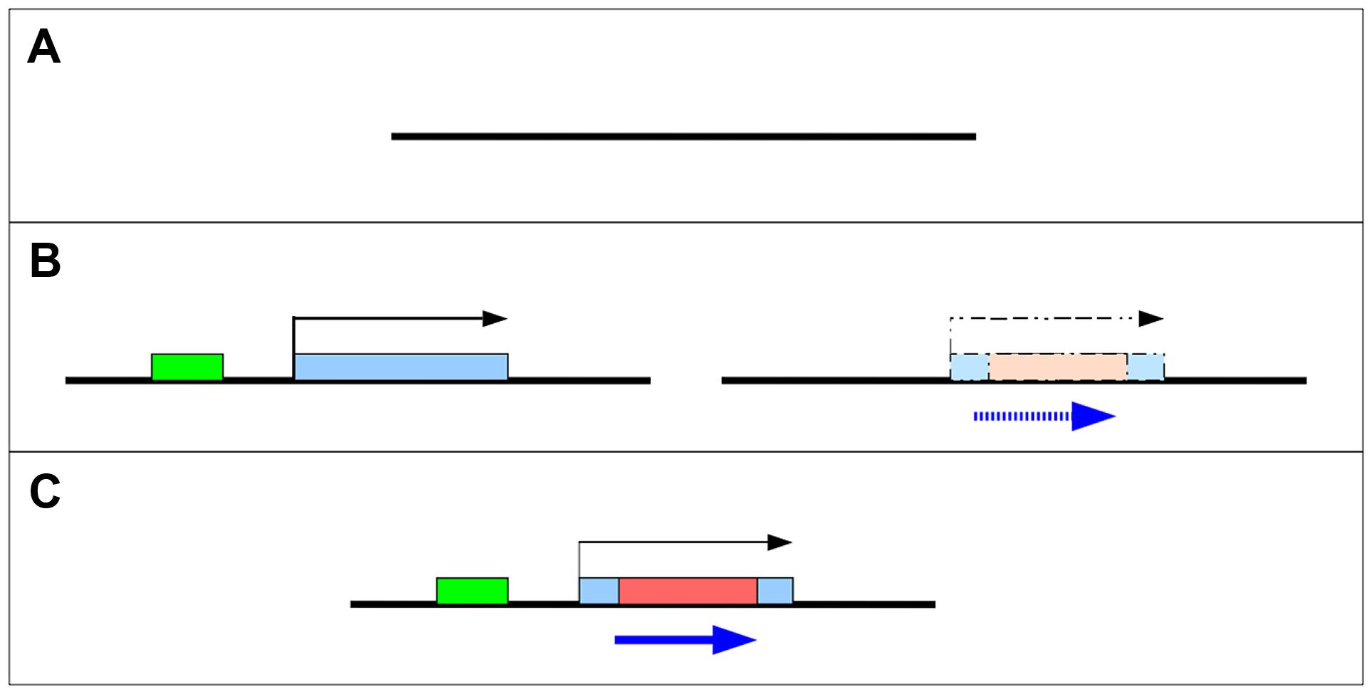 Two models for the origin of <i>de novo</i> genes.