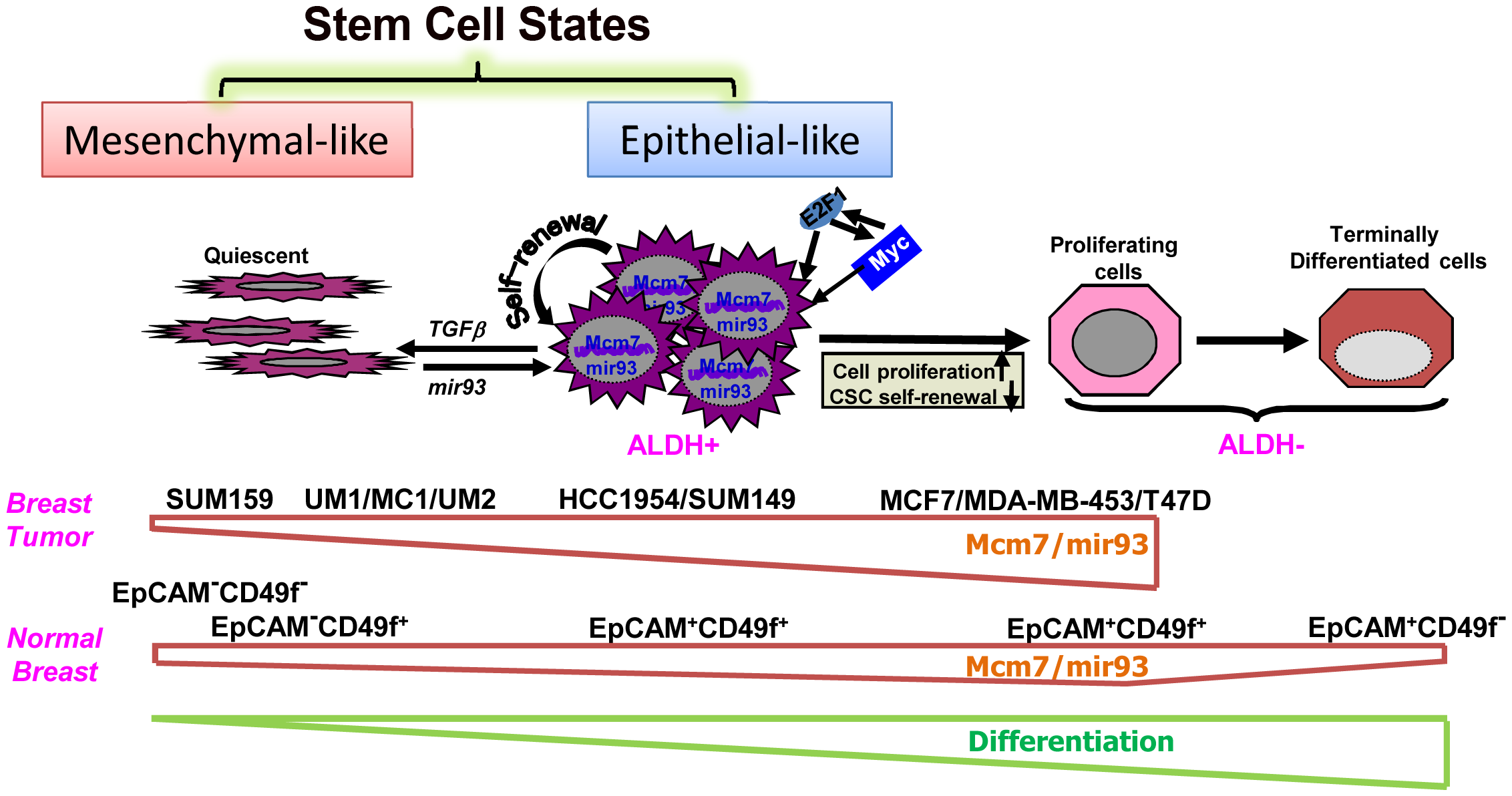 A hypothetic model illustrating regulation of normal and malignant mammary stem cell states and fates by mir-93.