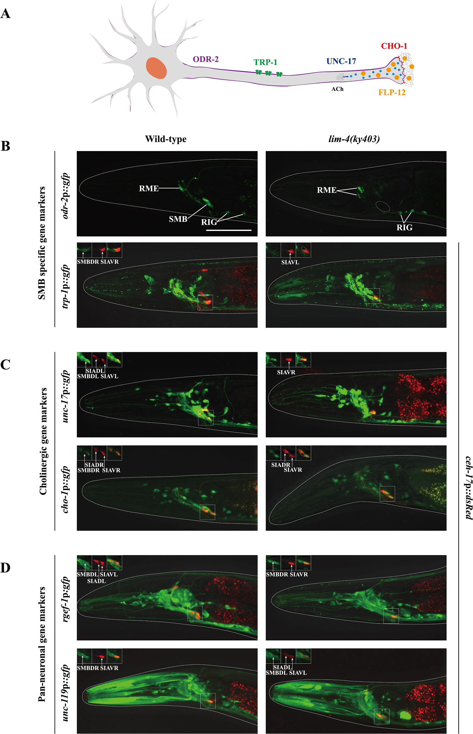 LIM-4 regulates expression of the terminally differentiated markers in the SMB neurons.
