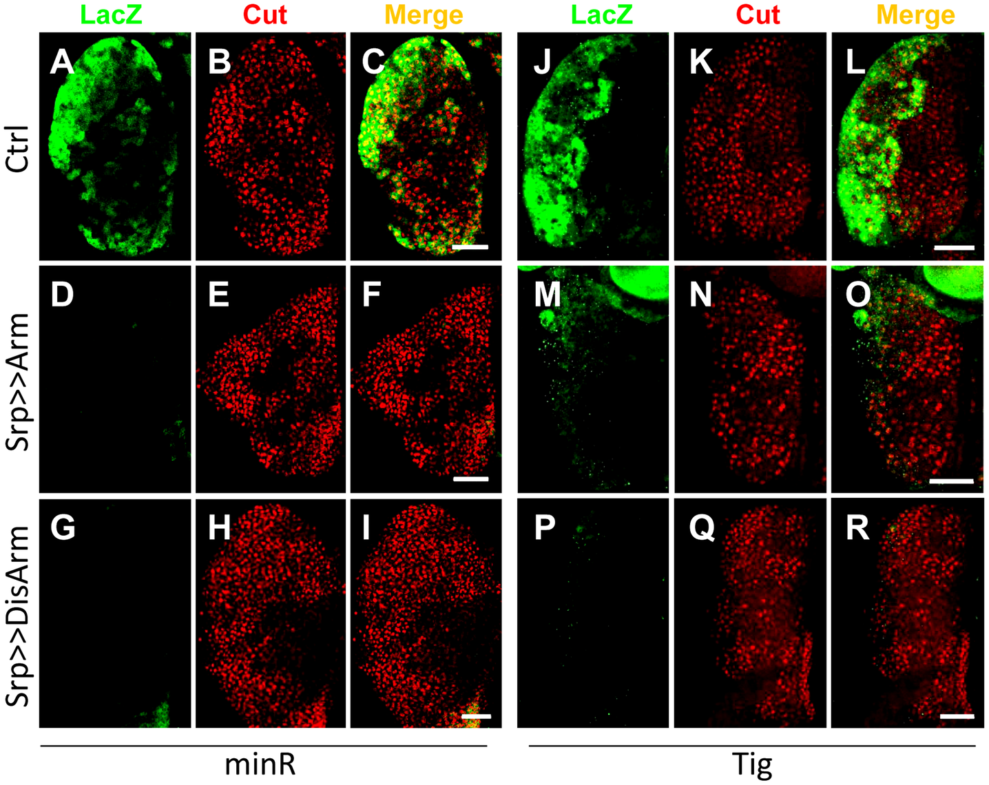 The <i>Tig</i> and minR reporters are repressed by Wnt signaling in the larval LG.