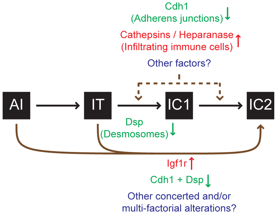 Progression to an invasive growth state is governed by multiple factors in the <i>RT2</i> model of PNET.