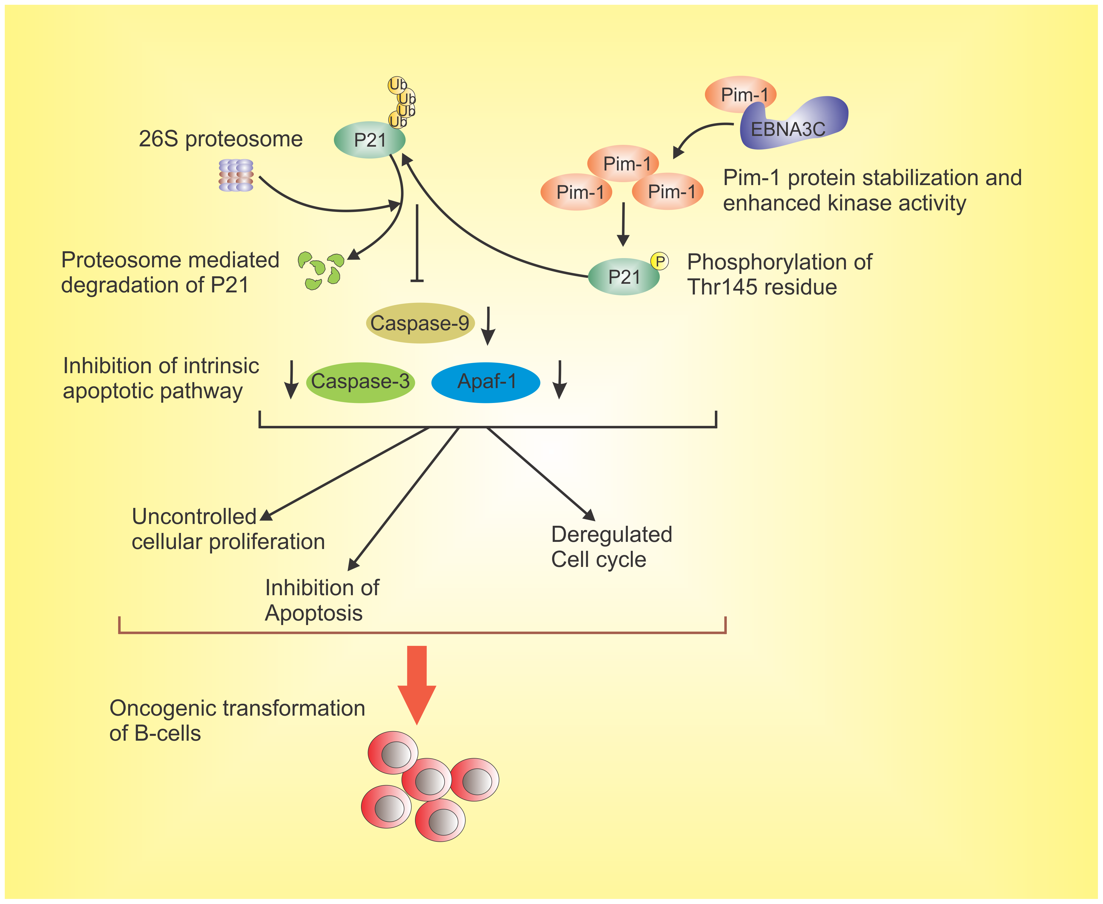 The schematic diagram illustrates the potential contribution of EBNA3C to oncogenic transformation of B-cells through stabilization of Pim-1 and proteasome mediated degradation of p21 which results in inhibition of the intrinsic apoptotic pathway.