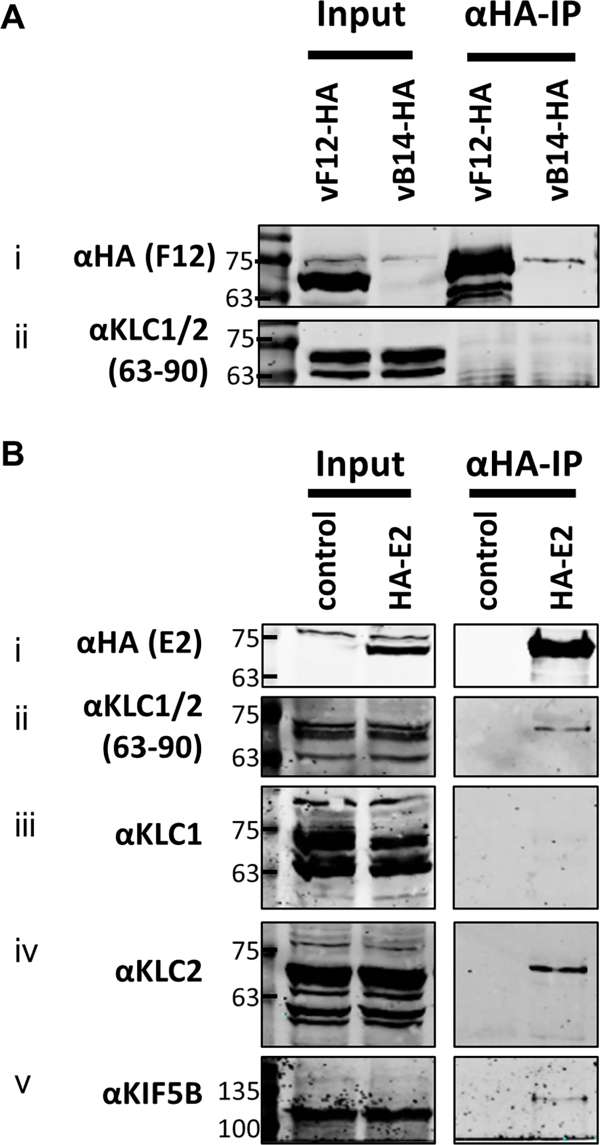 Endogenous KLC2 co-immunoprecipitates with E2.