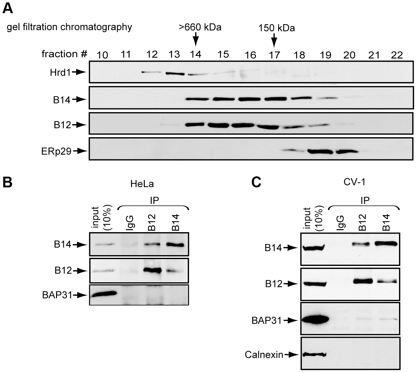 B14 complexes with B12.