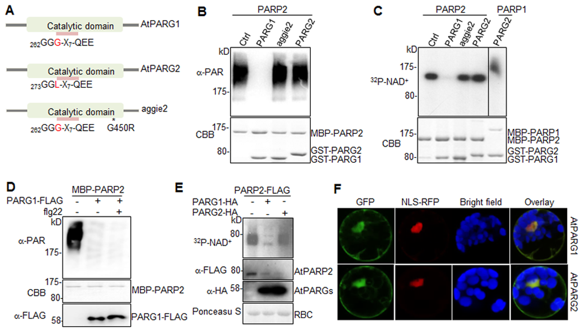 AtPARG1, but not aggie2 or AtPARG2, has poly(ADP-ribose) glycohydrolase activity.