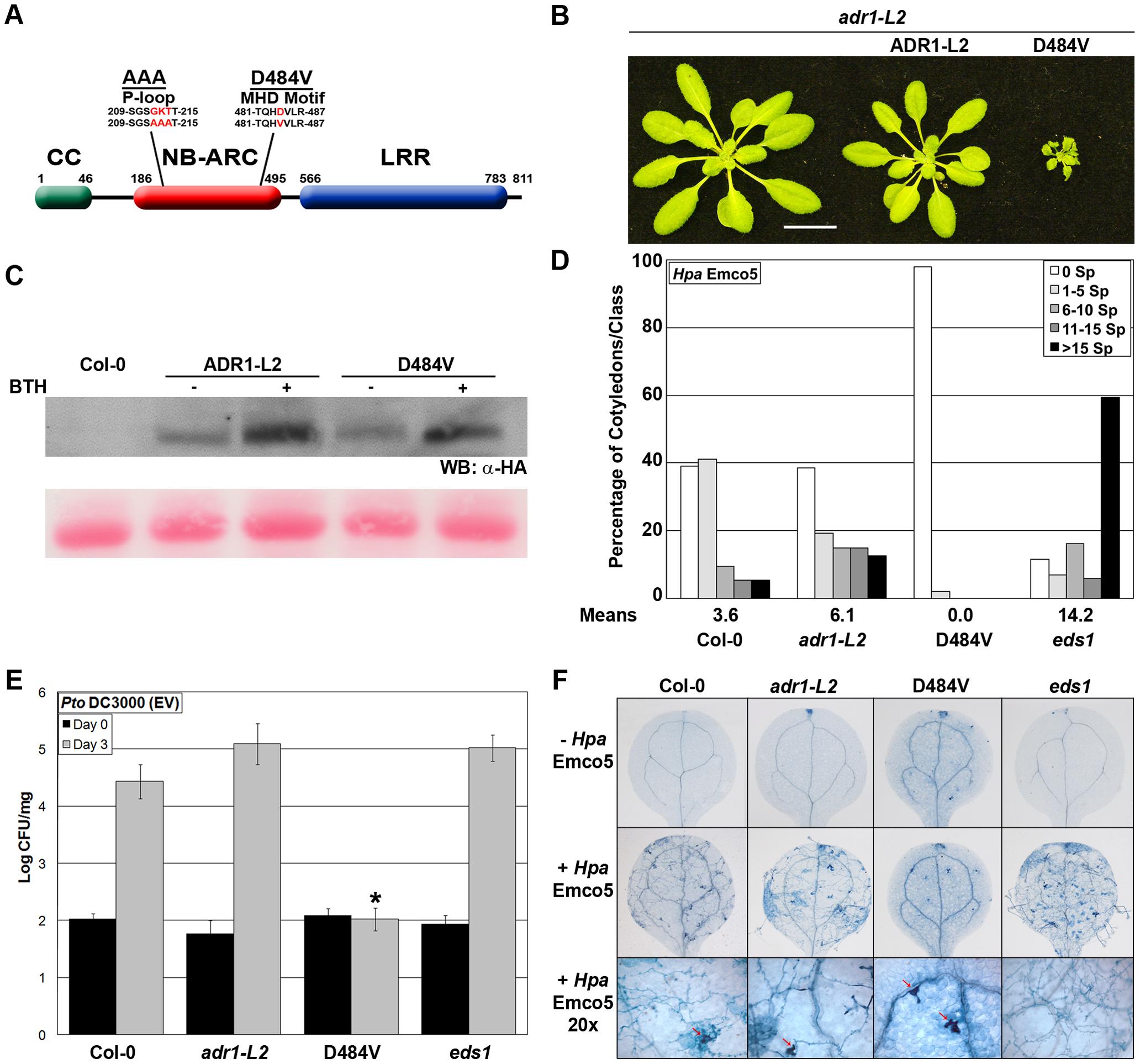 <i>ADR1-L2<sub>D484V</sub></i> ectopically activates basal defense.
