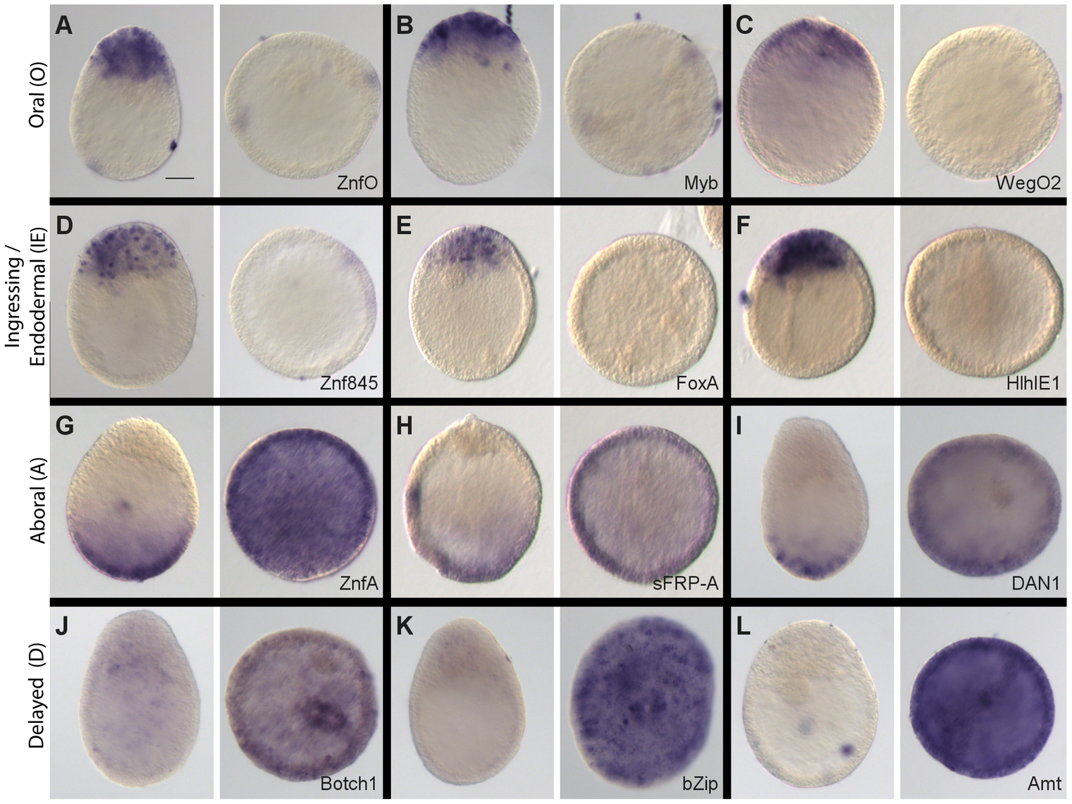 Stereotyped modification of gene expression patterns in Wnt3-MO embryos.