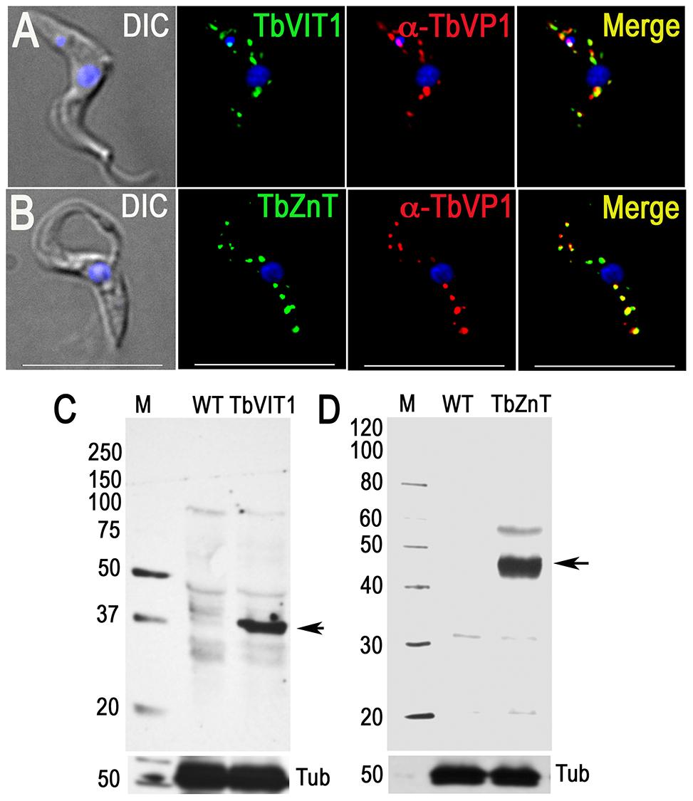 Immunofluorescence microscopy and western blot analyses of metal ion transporters.