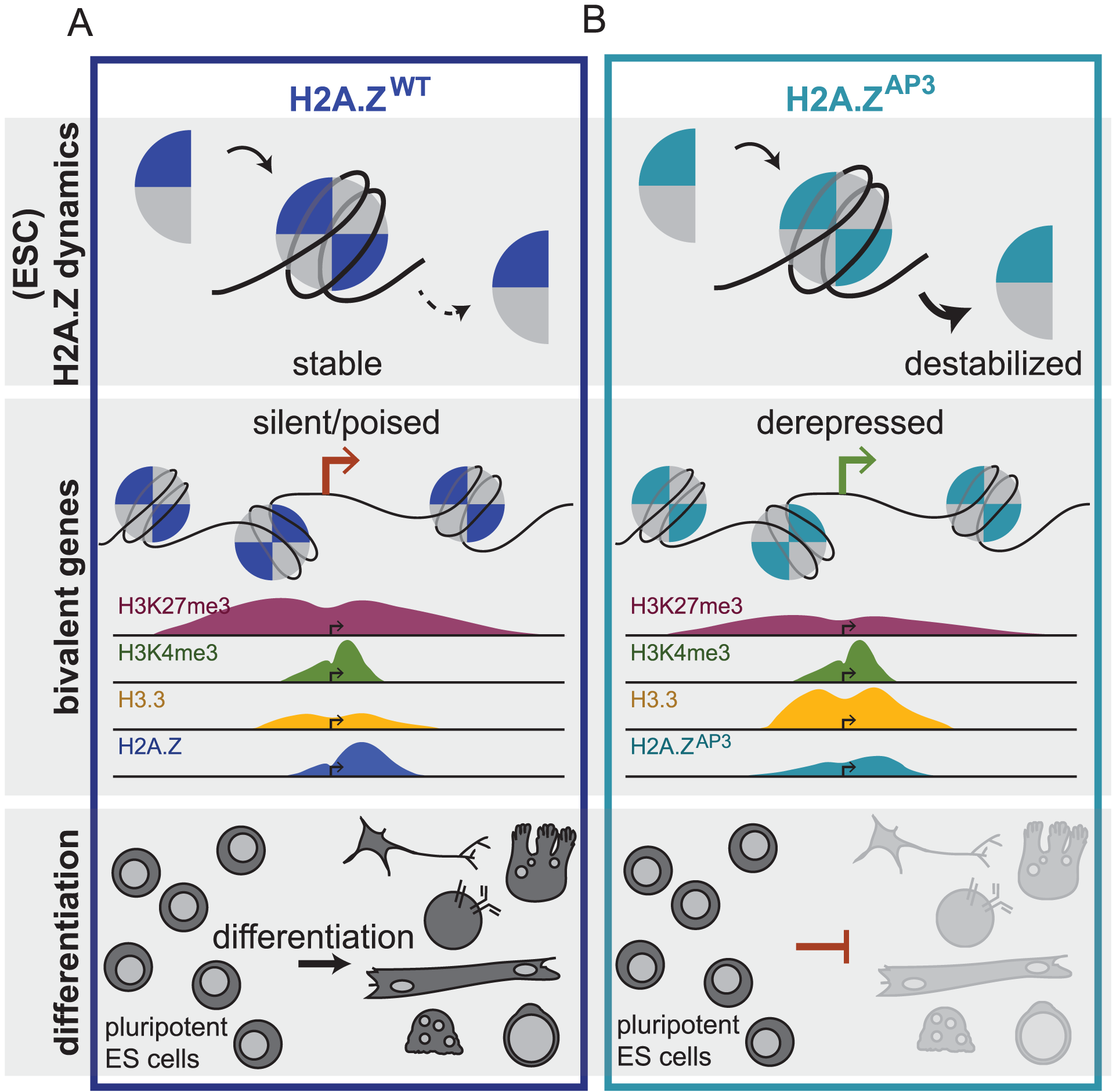 H2A.Z acidic patch couples chromatin dynamics to gene expression regulation during ESC differentiation.