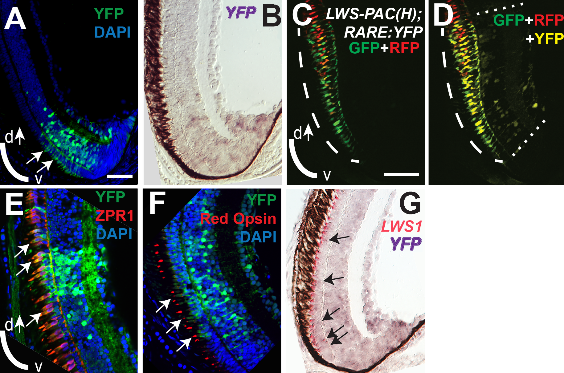 RA signaling continues in juvenile retinas and the signaling domain includes red opsin+, <i>LWS1</i>+ cones.