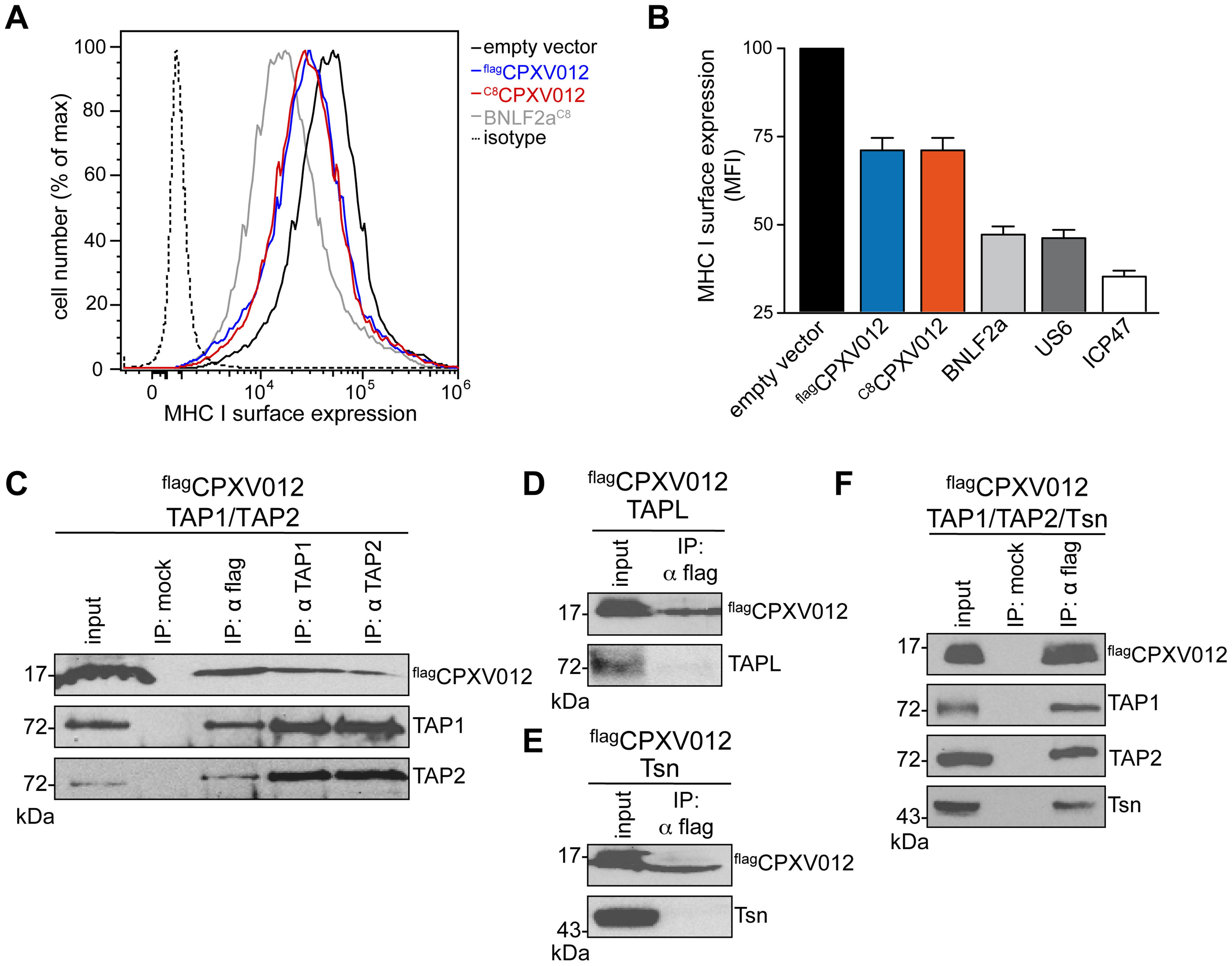 CPXV012 inhibits MHC I antigen presentation by targeting TAP directly.