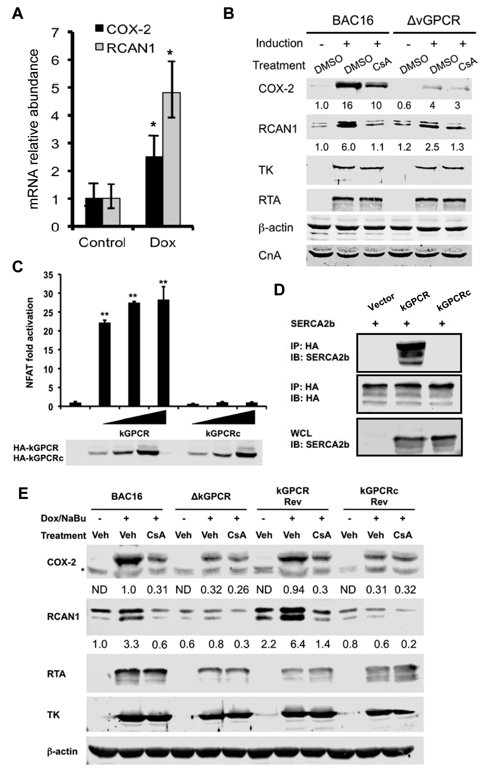 kGPCR activates NFAT during KSHV lytic replication.