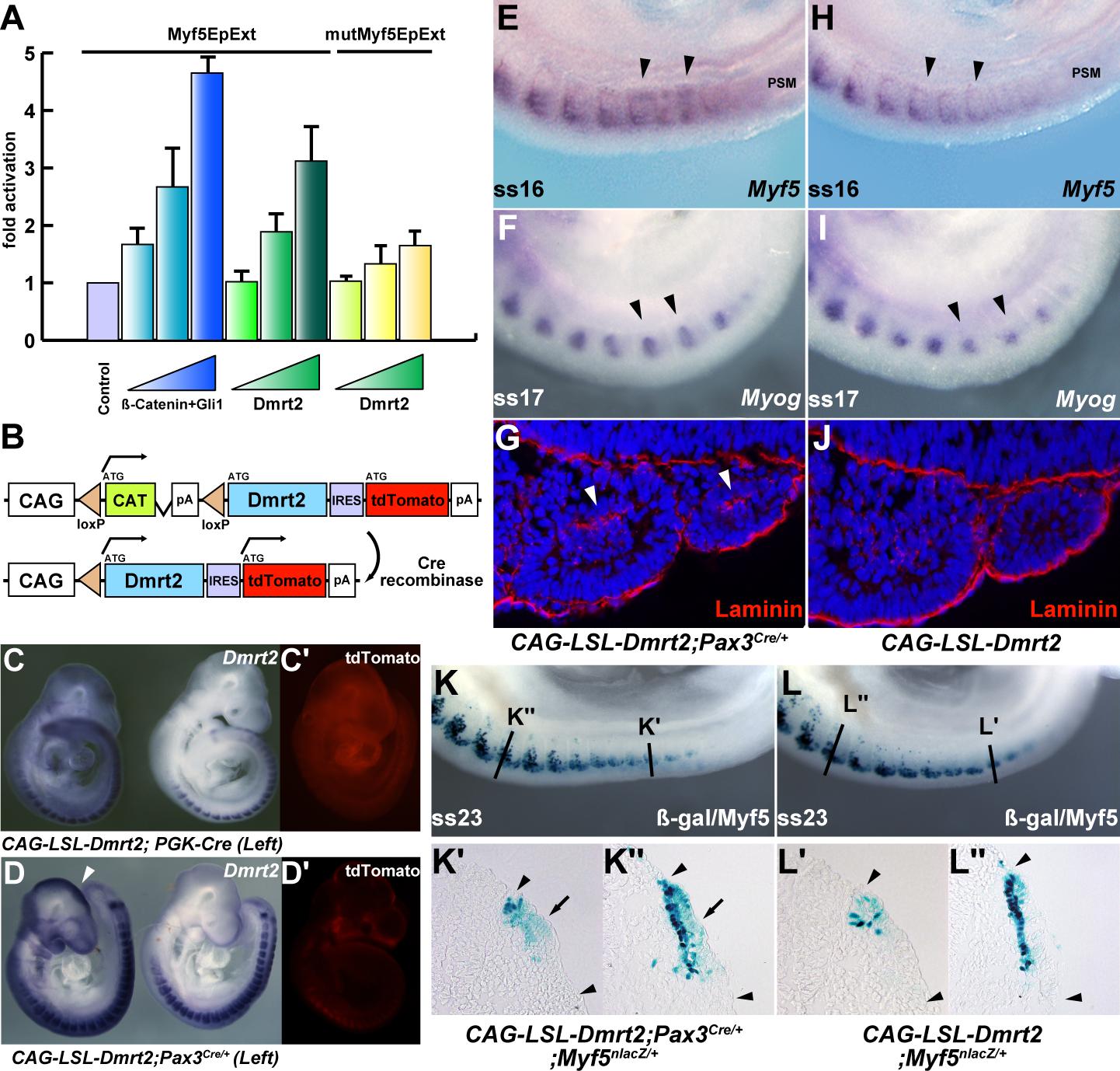 Overexpression of Dmrt2 accelerates myogenesis.