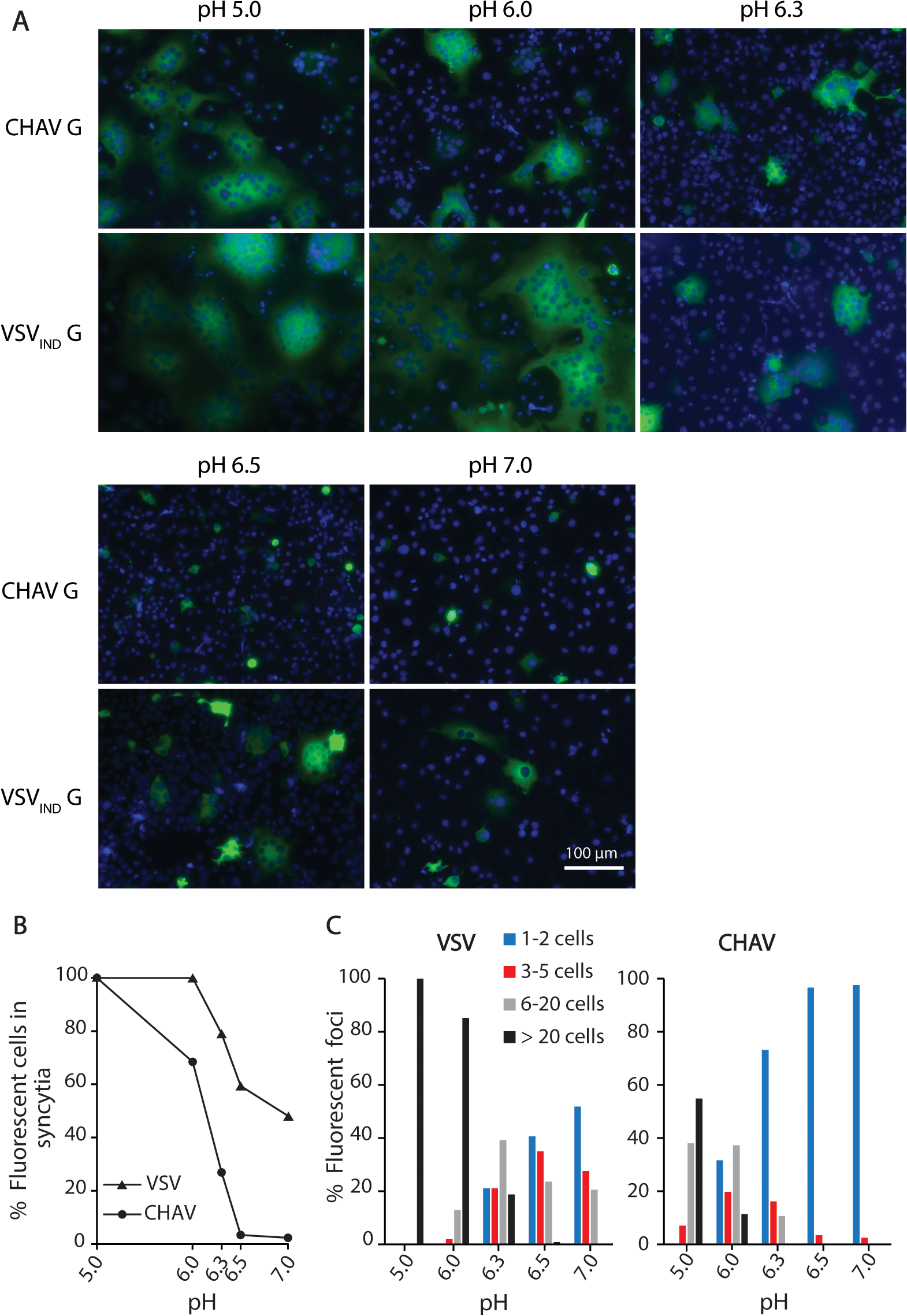 Fusion activity of CHAV-G and VSV-G analyzed in a cell-cell fusion assay.