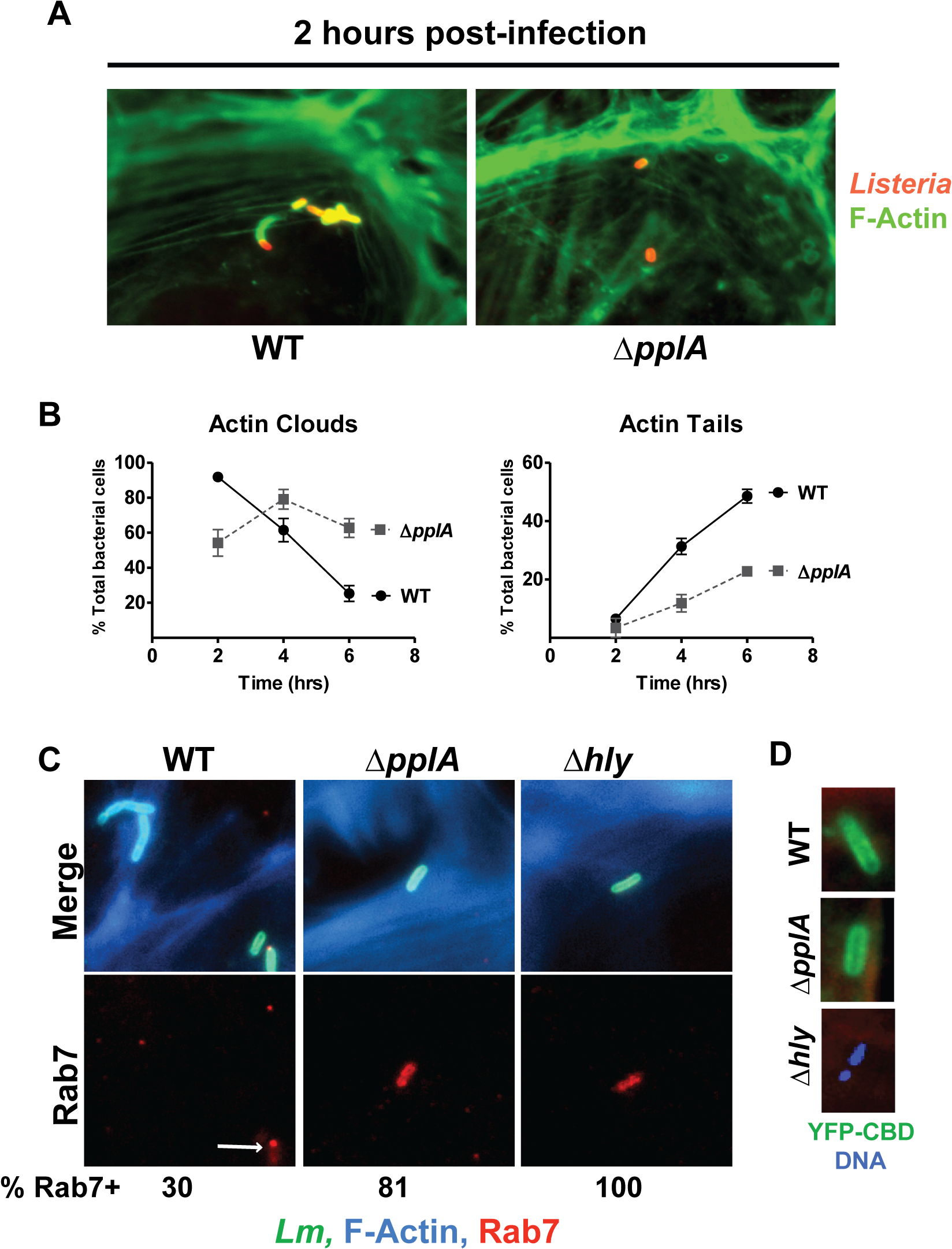 Loss of the pPplA pheromone delays escape from host cell vacuoles but does not impair vacuole perforation.