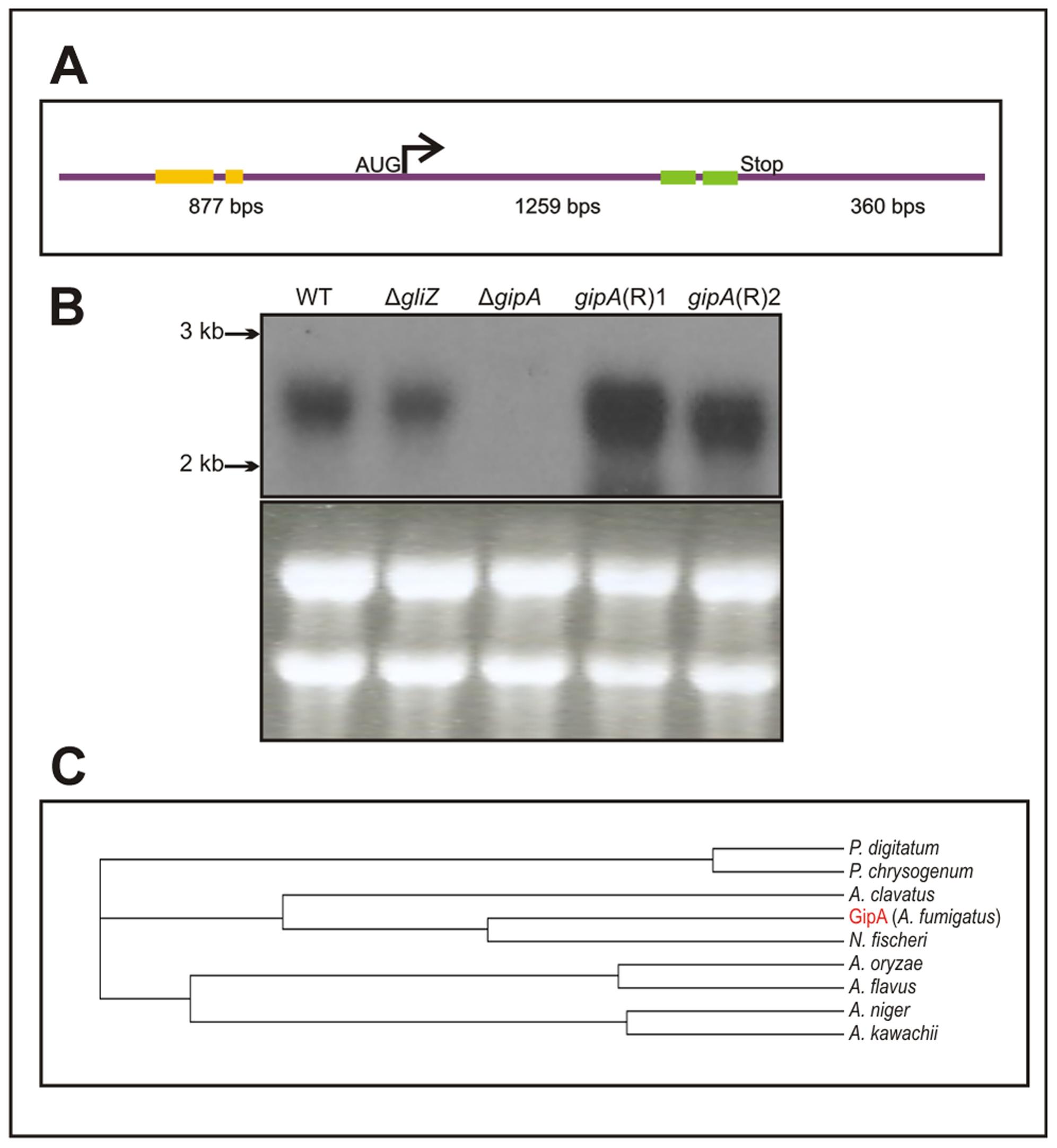 Characterization of <i>gipA</i> cDNA.