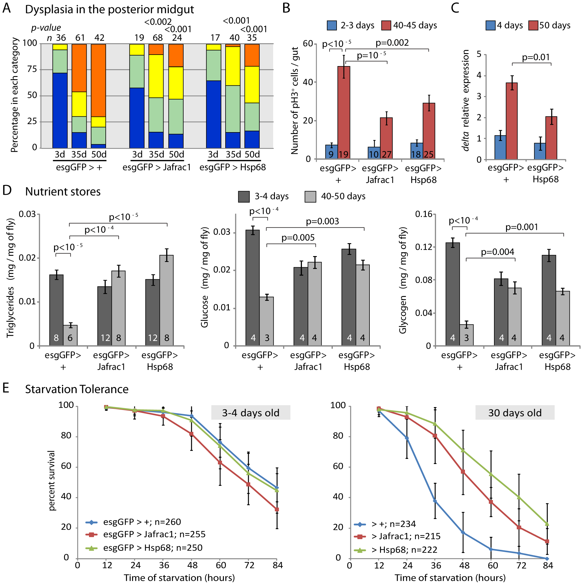 Overexpression of stress-protective genes in the somatic stem cell lineages delays intestinal degeneration and limits metabolic decay.