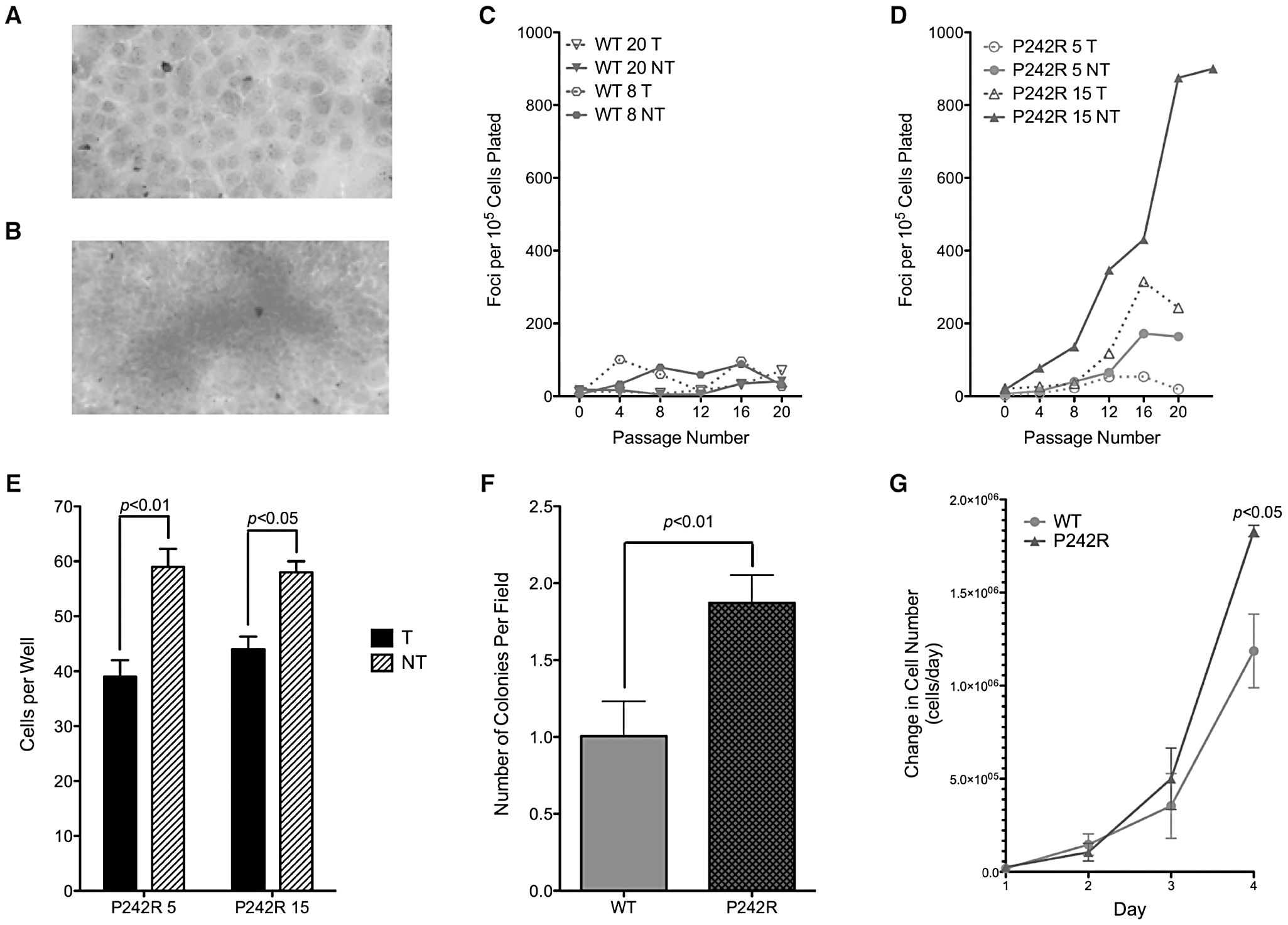 Expression of P242R induces cellular transformation.