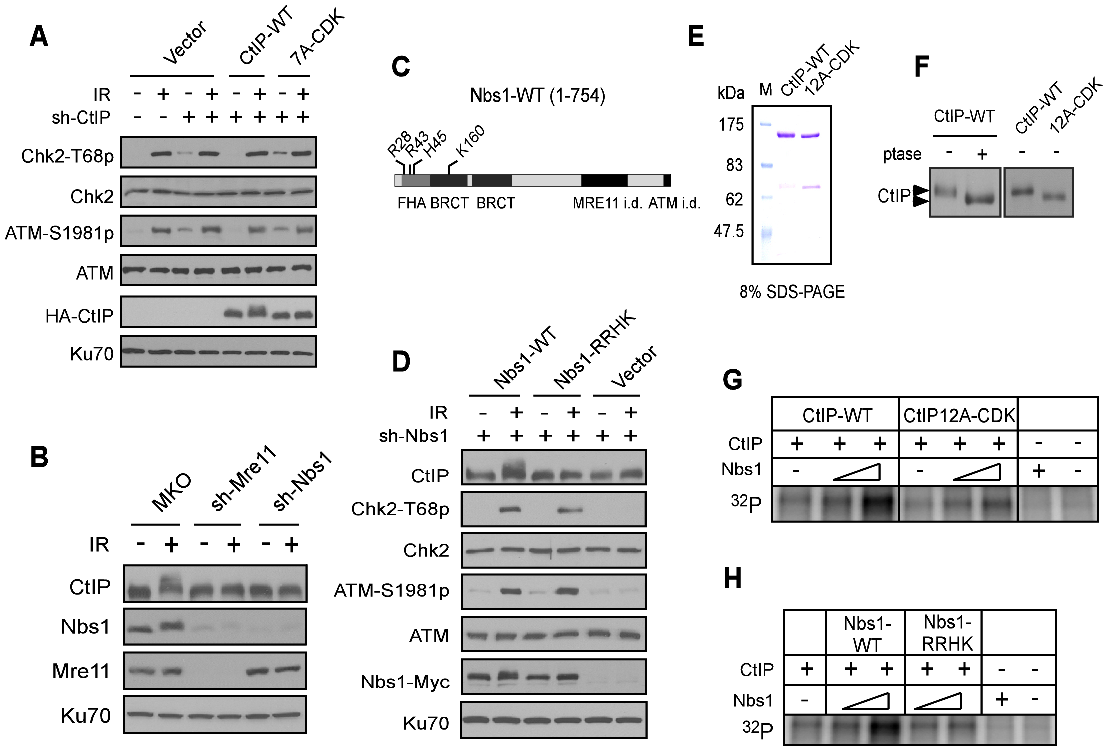 The FHA/BRCT domains of Nbs1 are important for ATM-mediated phosphorylation of CtIP.