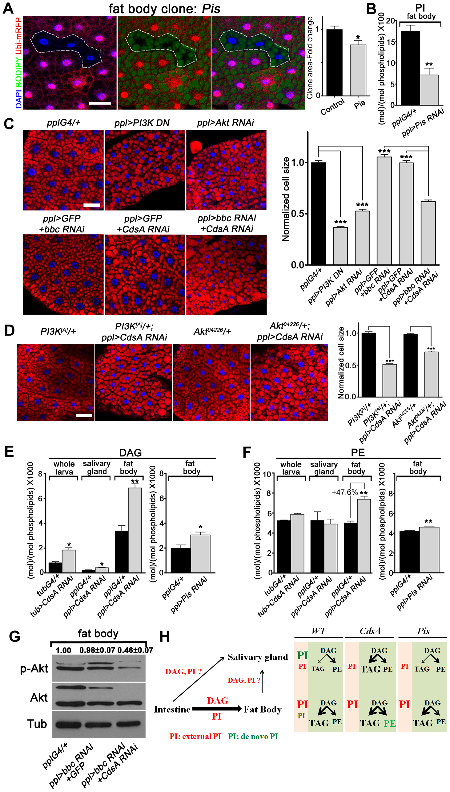 A DAG-to-PE route mediated by Bbc may support cell growth in <i>CdsA RNAi</i> fat body.