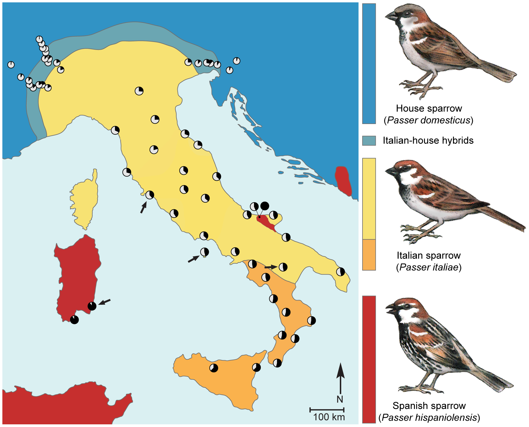Phenotypic and genetic makeup of the hybrid Italian sparrow.