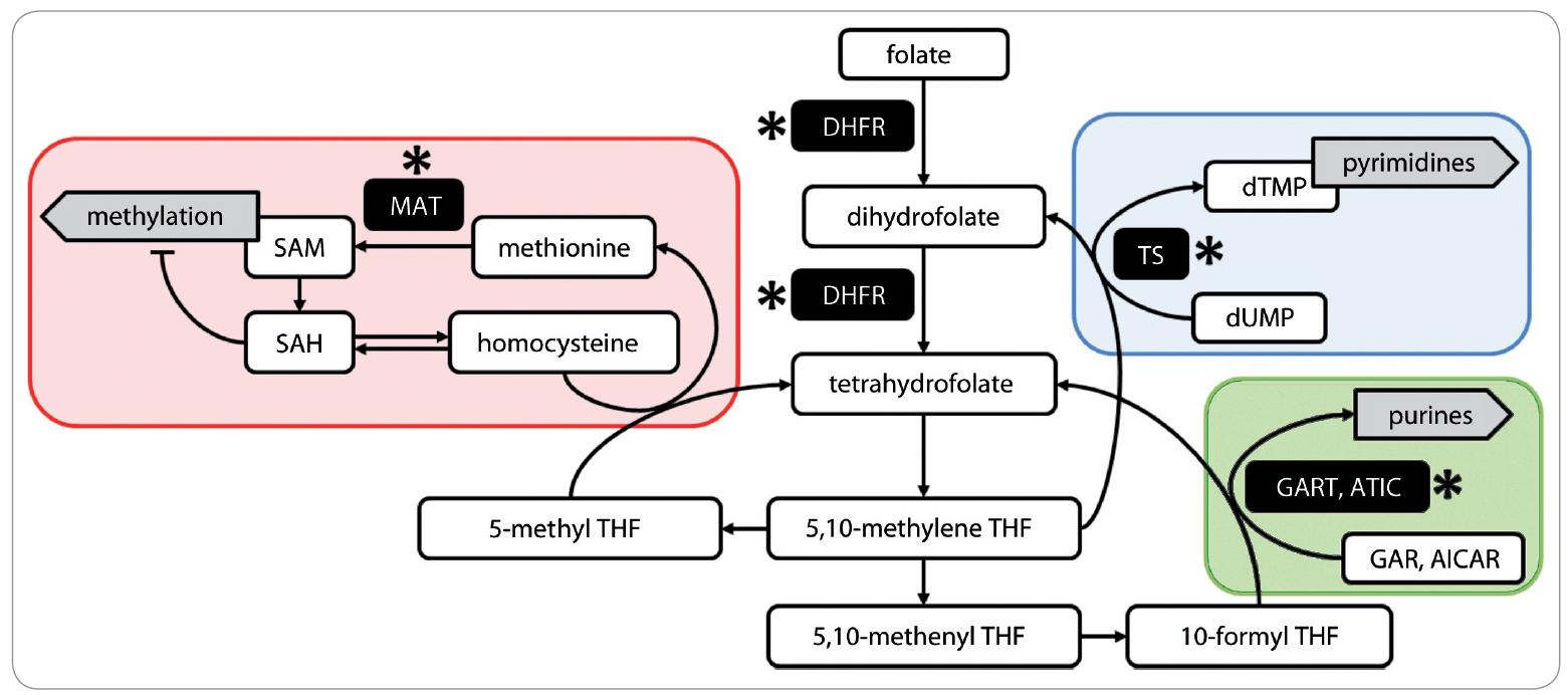 Fig. 1. Folate metabolism. Schematic picture of three main folate-dependent pathways: methylation of biomolecules (red area), thymidylate synthesis (blue area) and synthesis of purines (green area). The spots of MTX-intervention are indicated by asterisks. Abbreviations: AICAR – 5-aminoimidazole-4-carboxamide ribonucleoside; ATIC – AICAR transformylase; DHFR – dihydrofolate reductase; GAR – glycinamide ribonucleotide; GART – GAR transformylase; MAT – methionine S-adenosyltransferase; SAM – S-adenosyl methionine; SAH – S-adenosyl homocysteine; THF – tetrahydrofolate; TS – thymidylate synthase.