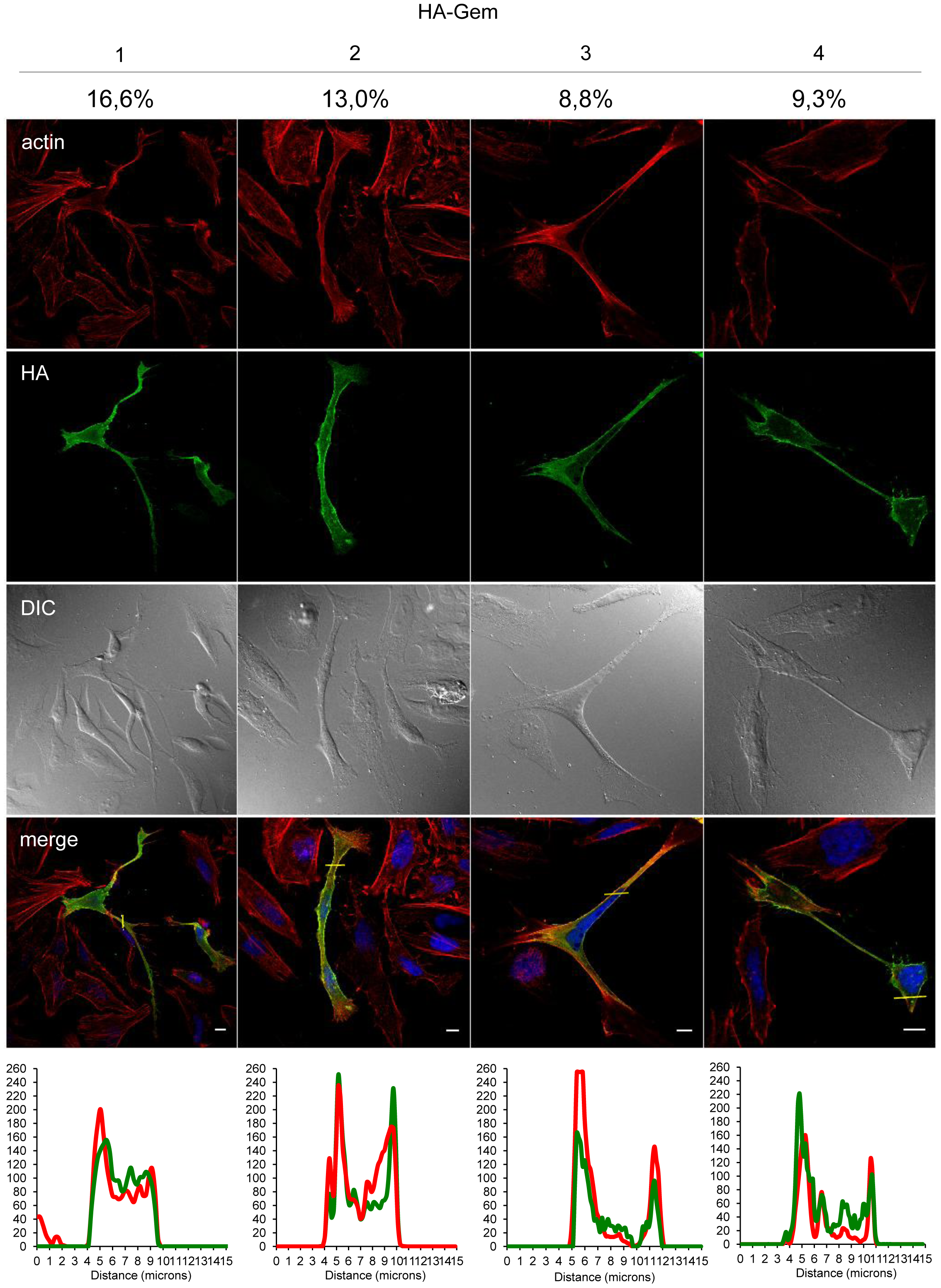 Gem expression induces morphological changes.