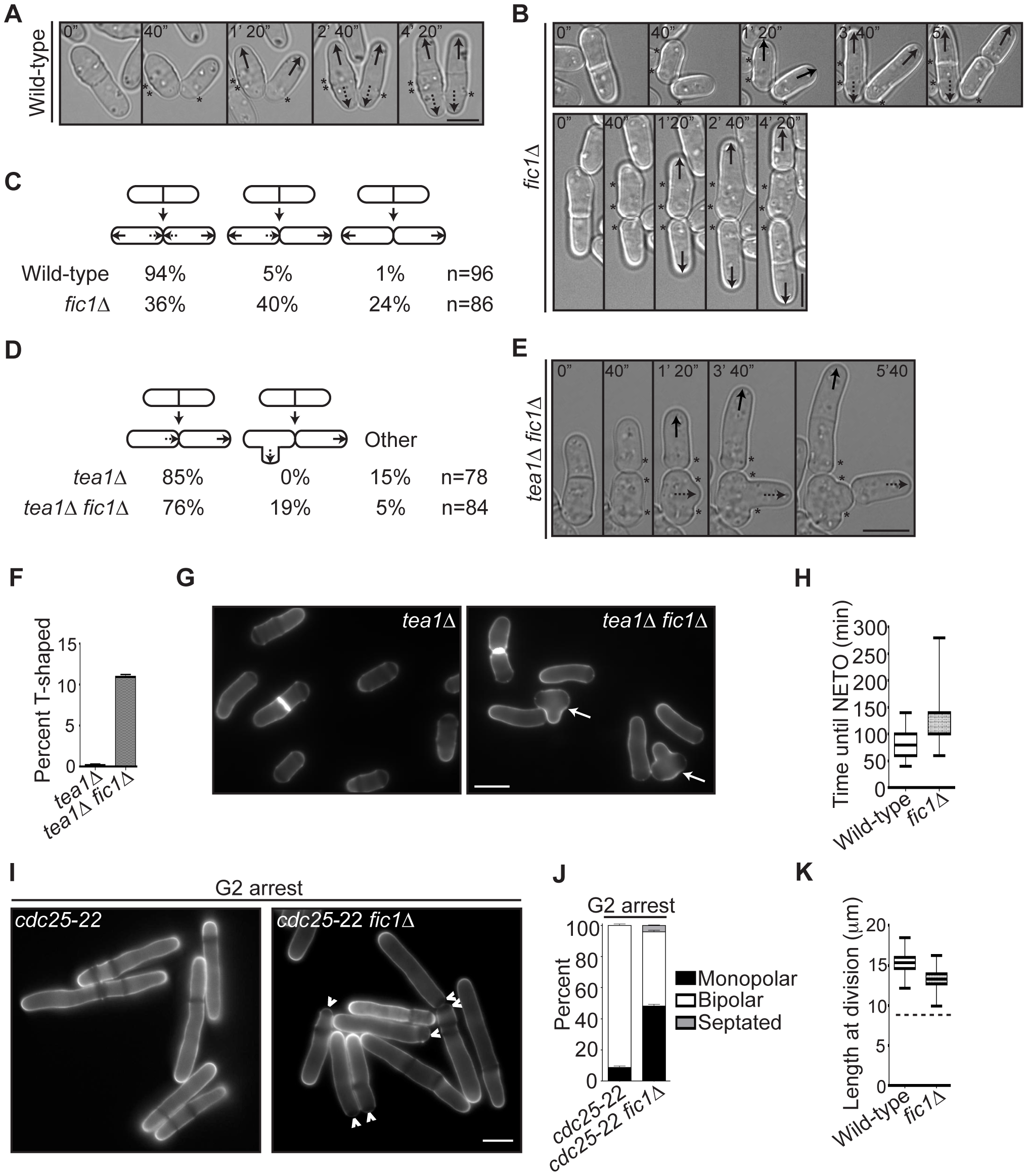 <i>fic1</i>Δ cells fail at new end growth independently of known cell cycle controls on NETO.