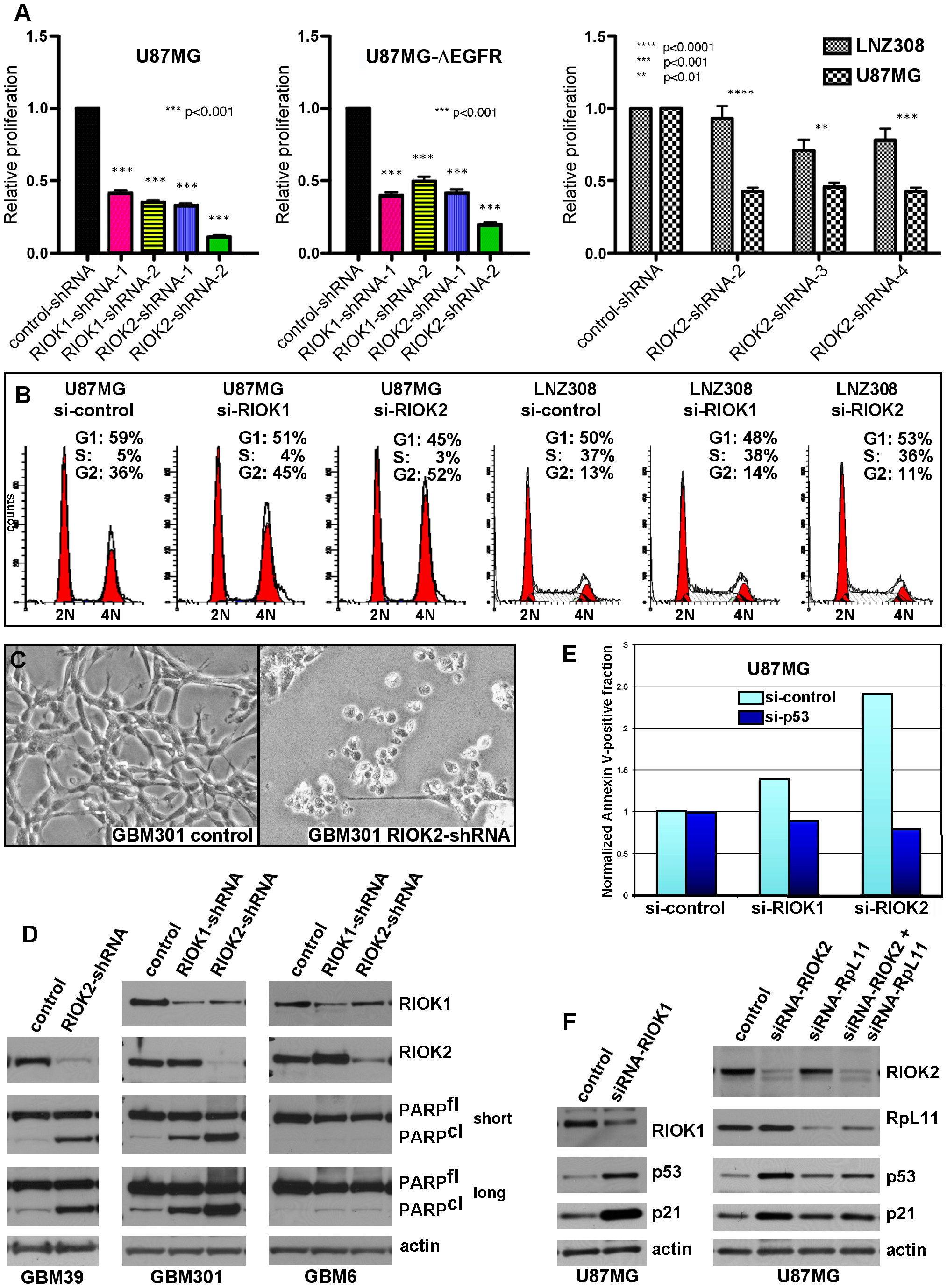 RIOKs drive proliferation and survival of GBM cells in a p53-dependent manner.