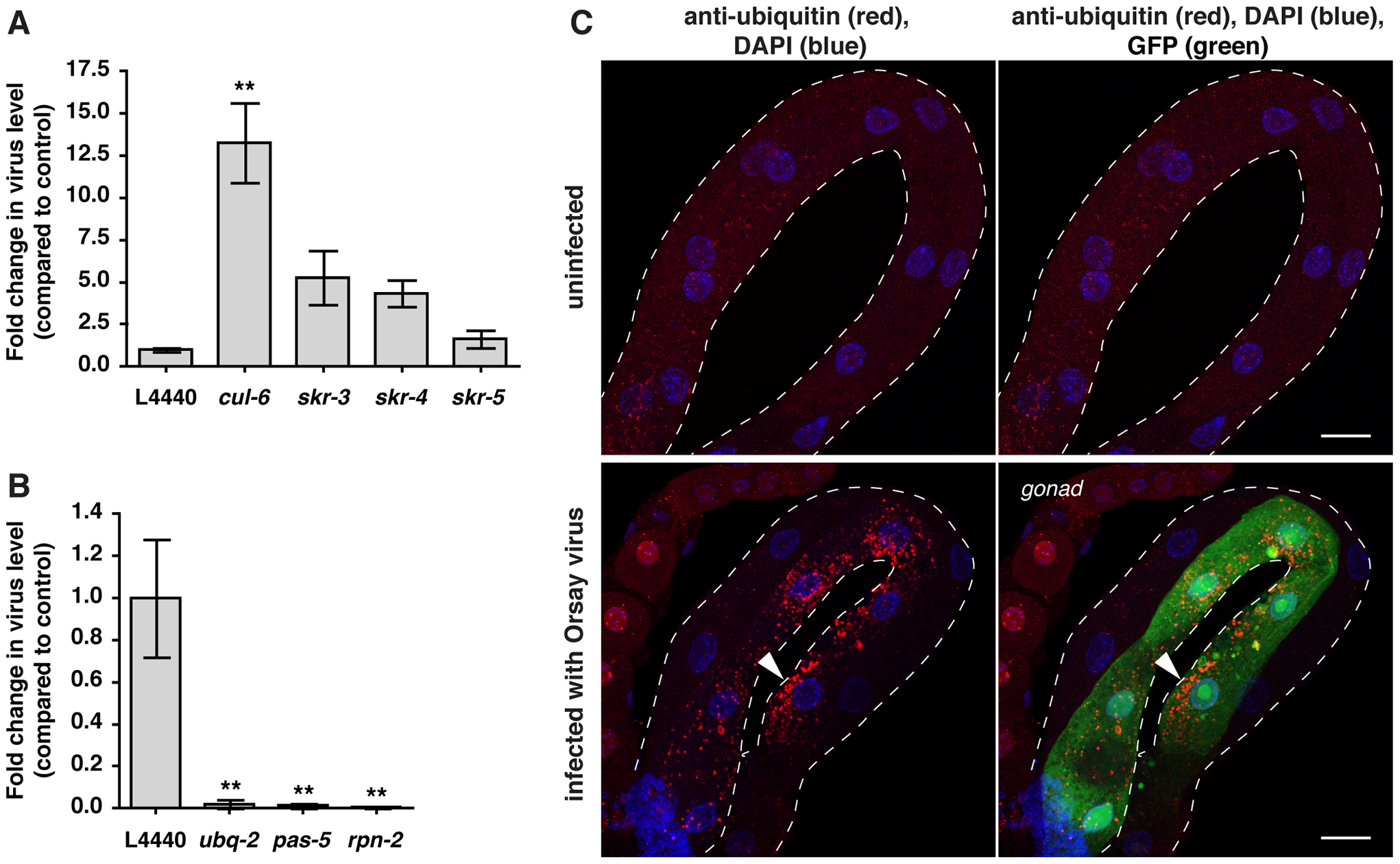 Ubiquitin-mediated host response and defense against Orsay viral infection in <i>C. elegans</i>.