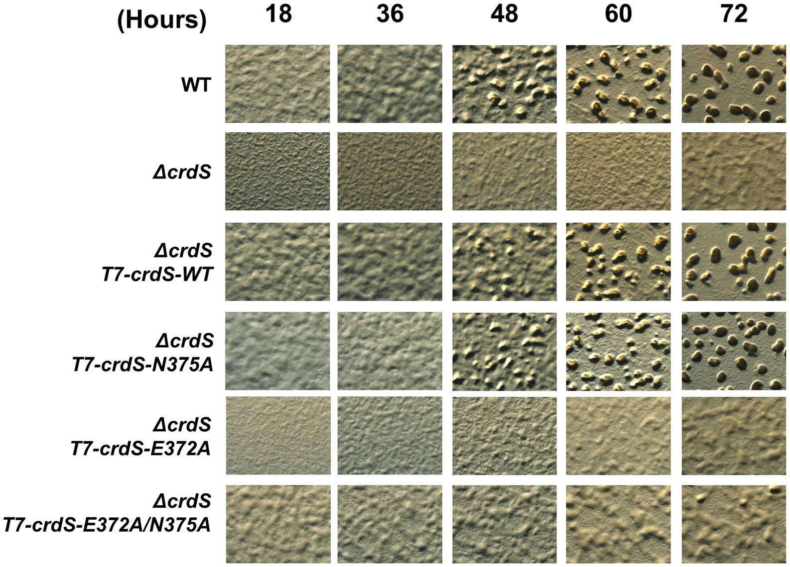 <i>M. xanthus</i> Development Is Affected by Expression of CrdS Kinase and Phosphatase Mutant Proteins.