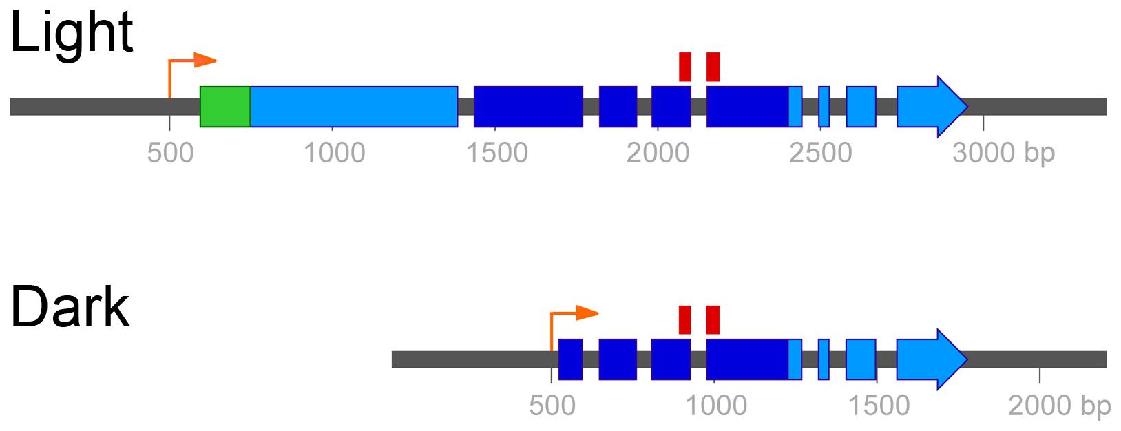 Two mRNA isoforms of <i>UVE1</i> are produced in <i>C. neoformans</i> var. <i>neoformans</i>.