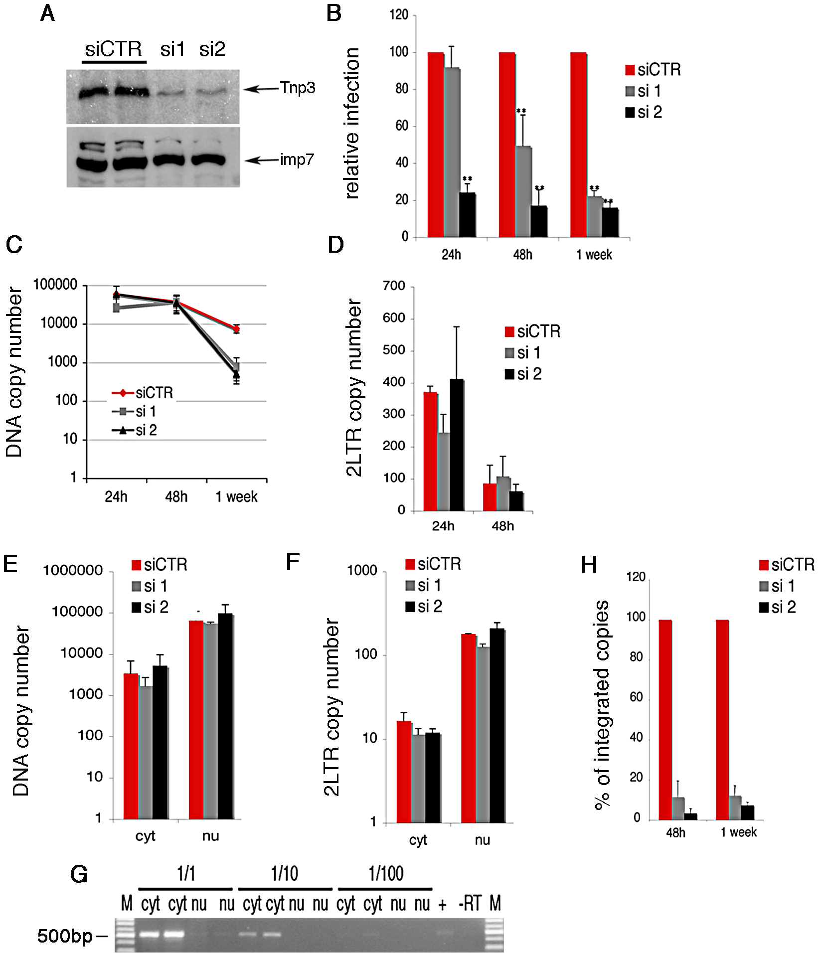 Tnp3 is required for efficient HIV-1 infection in HeLa cells.