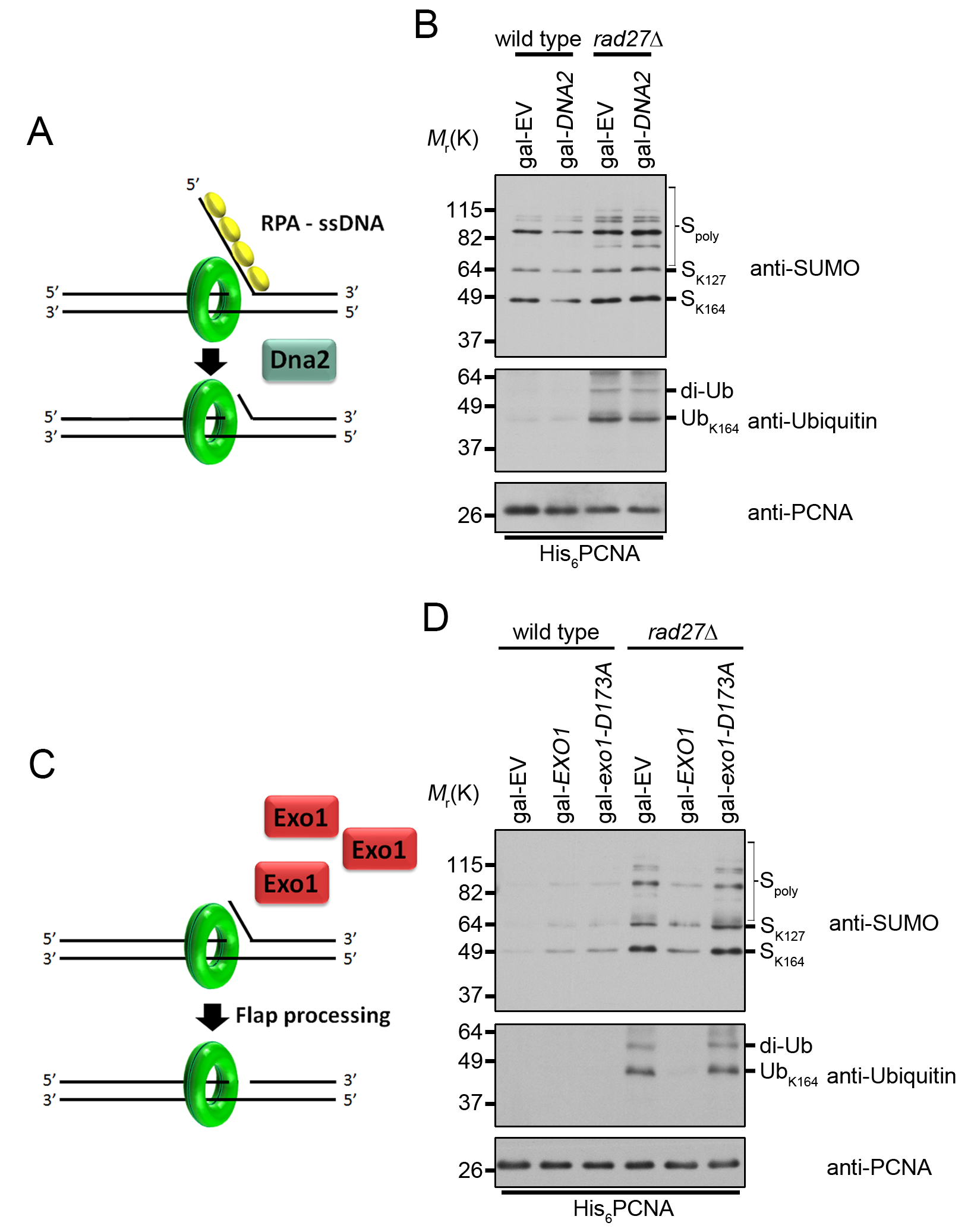 Overexpression of <i>EXO1</i> suppresses PCNA ubiquitination in <i>rad27Δ</i>.