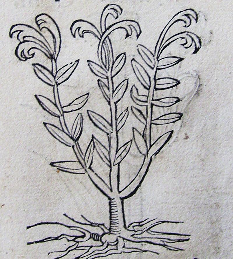 Rytina z herbáře Jana Černého