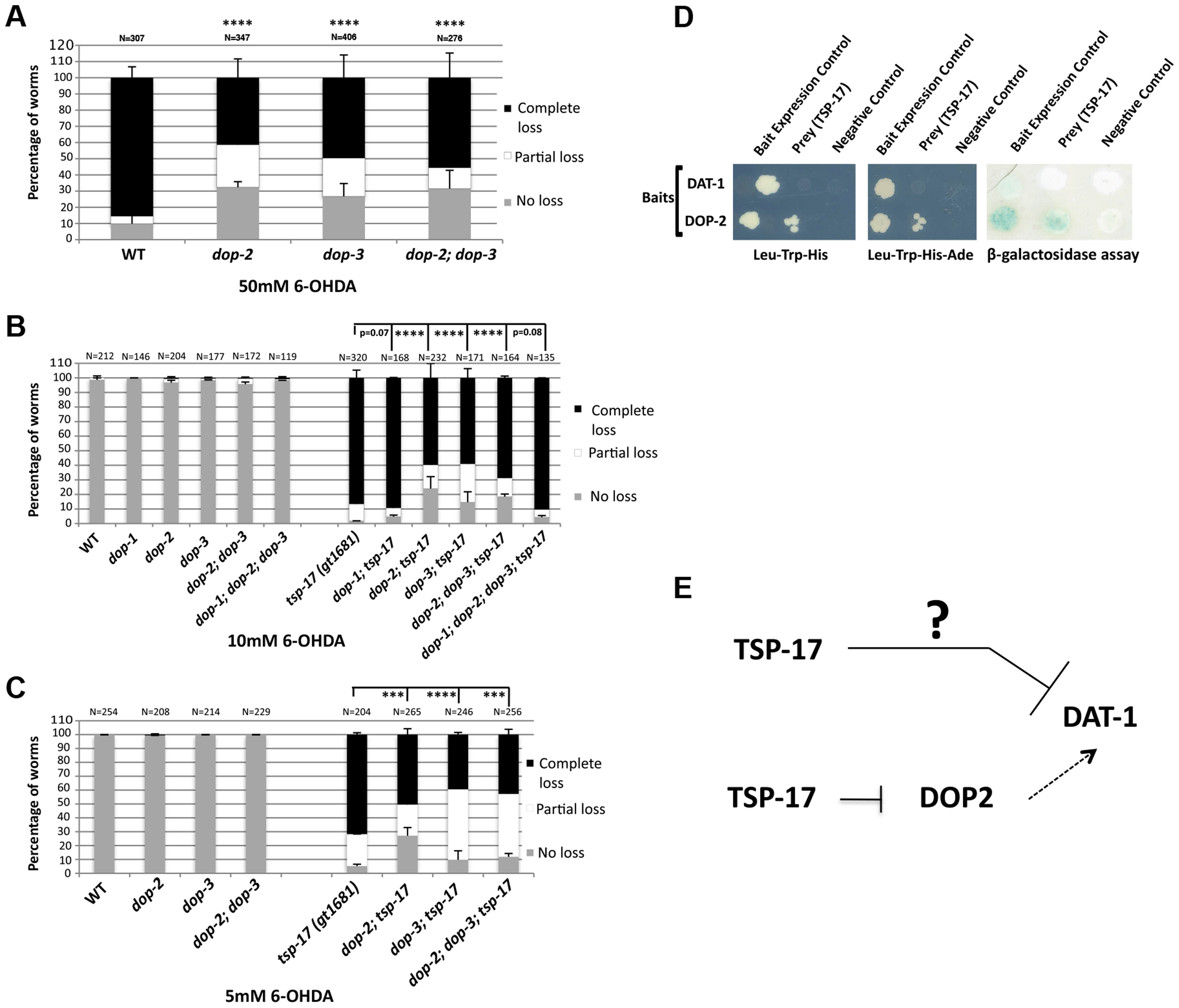 Dopamine receptors act antagonistically to modulate the sensitivity of <i>tsp-17 (gt1681)</i> mutants to 6-OHDA.