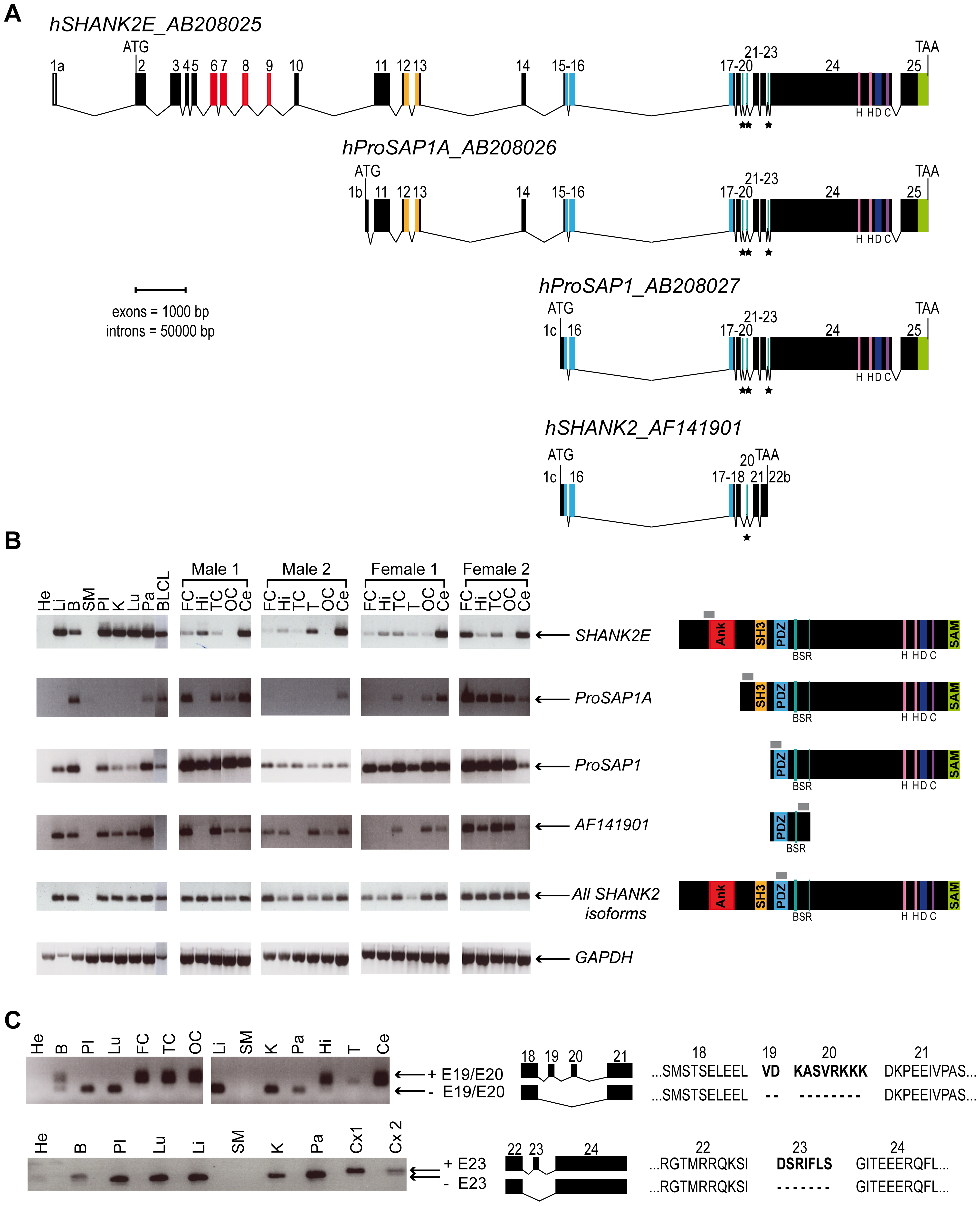Genomic structure, isoforms, and expression of human <i>SHANK2</i>.