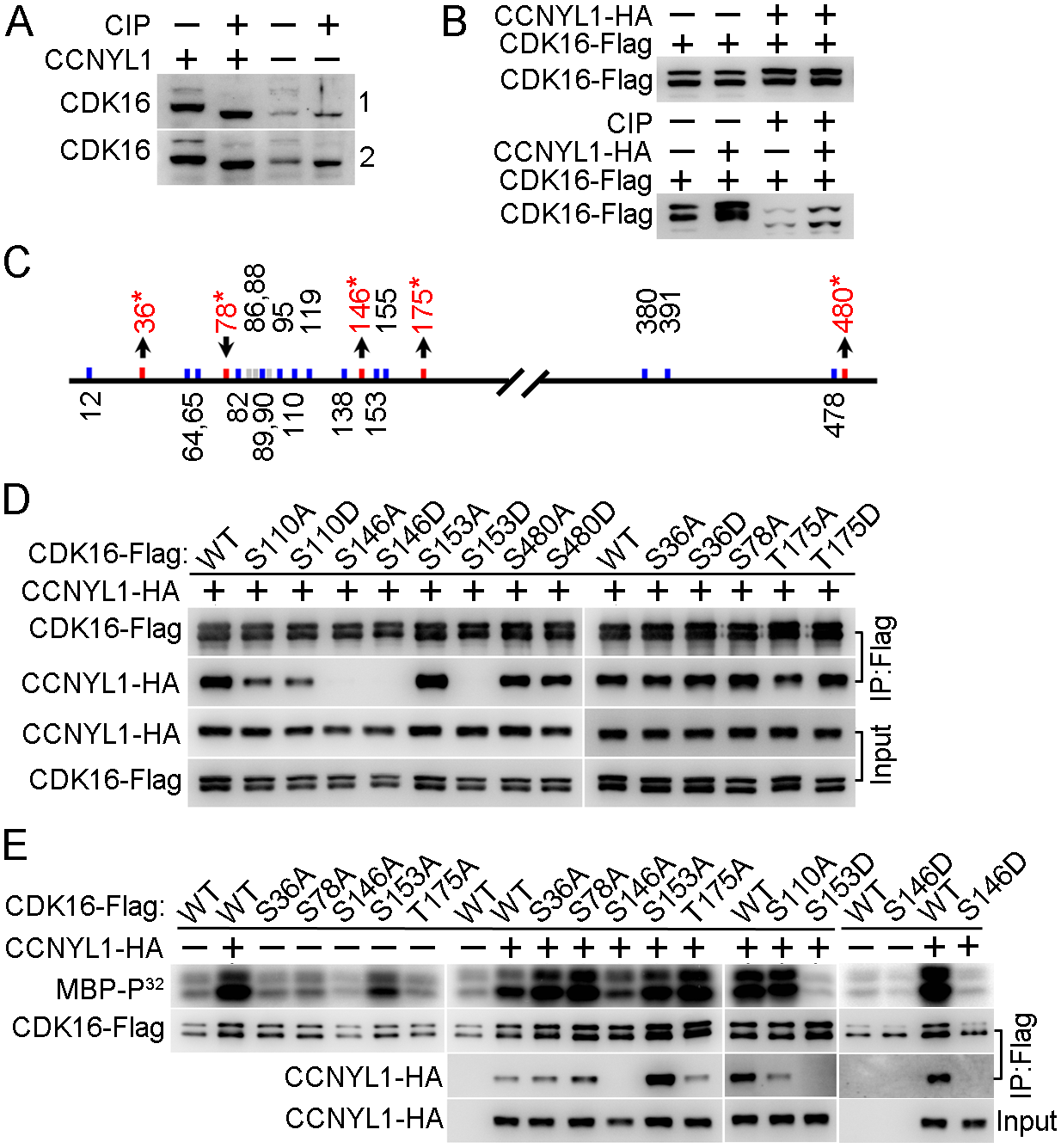 Identification and functional study of phosphorylation modifications of CDK16.