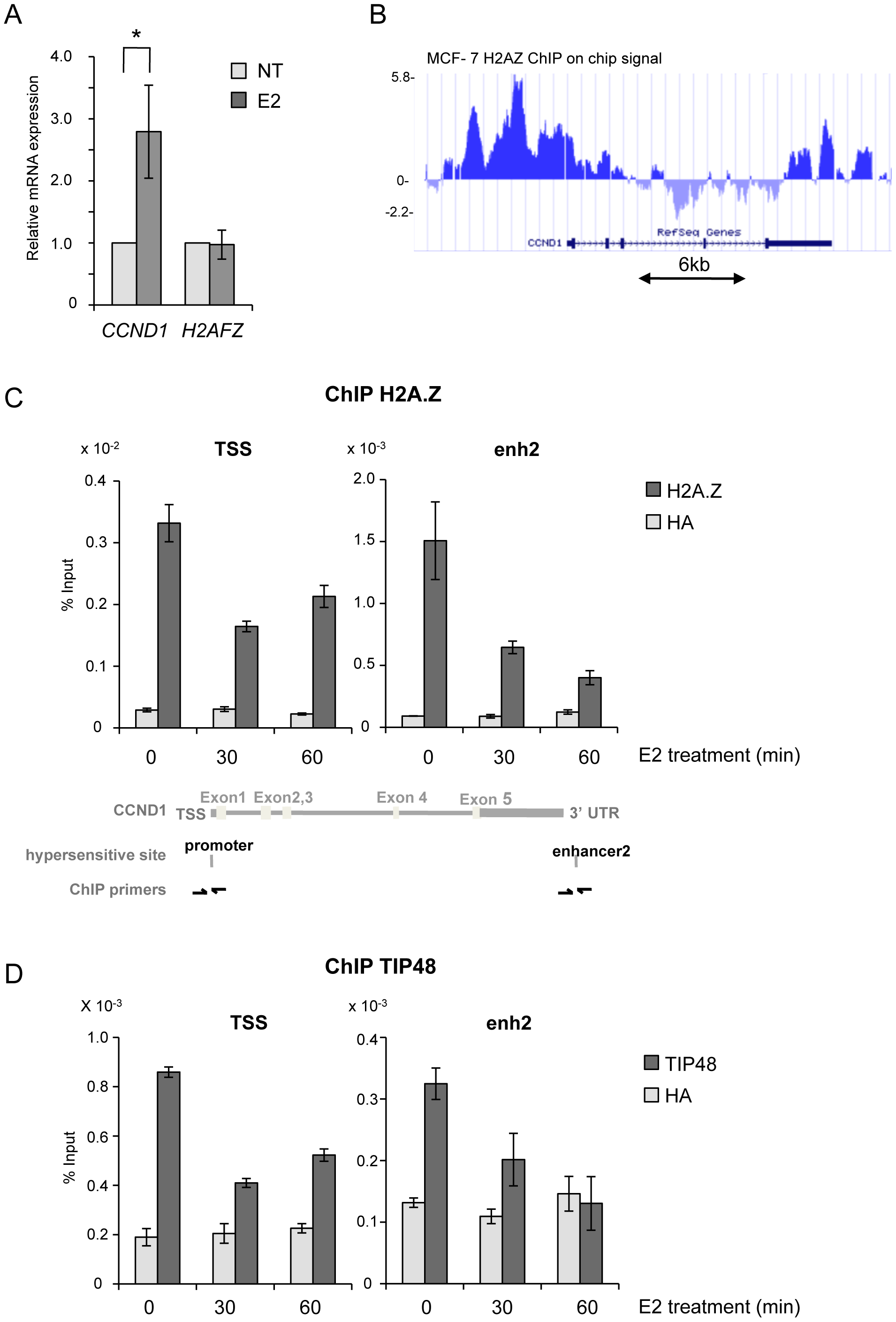 TIP48 and H2A.Z are required for <i>CCND1</i> activation by estradiol.