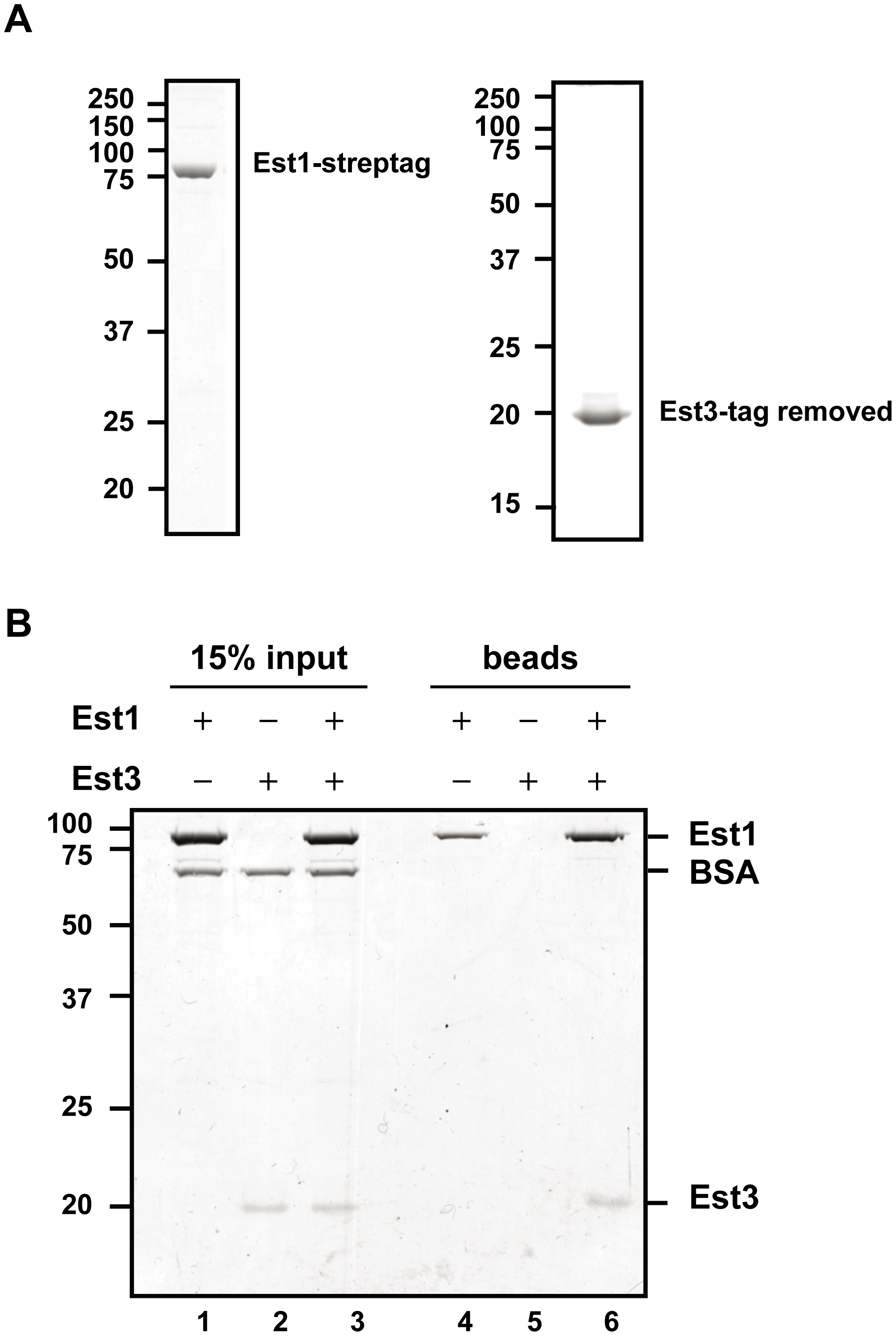Est1 and Est3 interact directly <i>in vitro</i>.