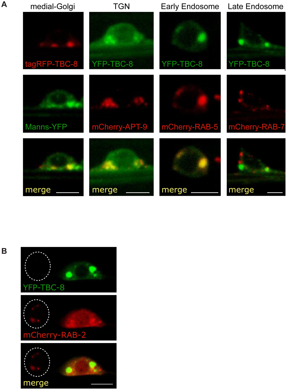 TBC-8 localizes to the Golgi-endosomal interface.
