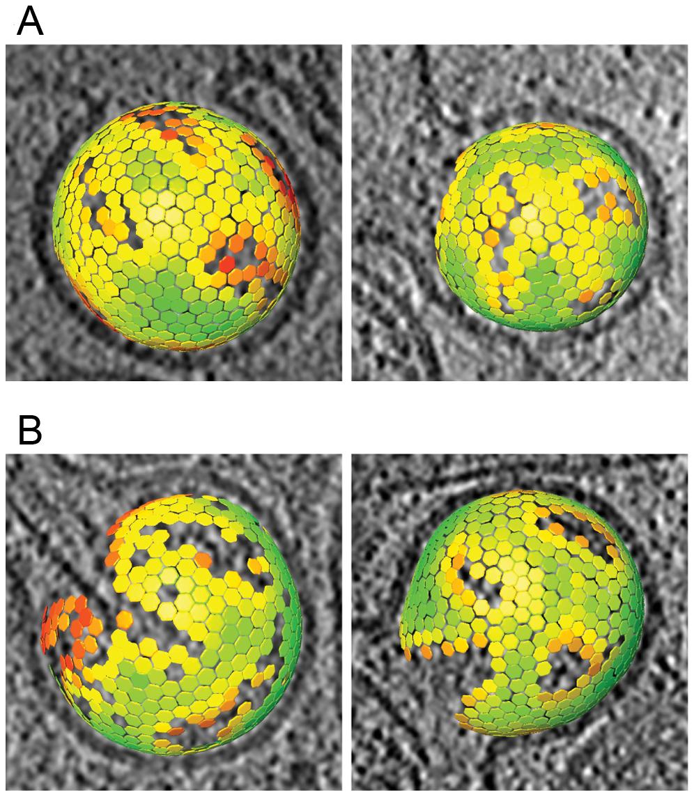 Lattice maps of immature and intermediate HIV-1 budding sites.