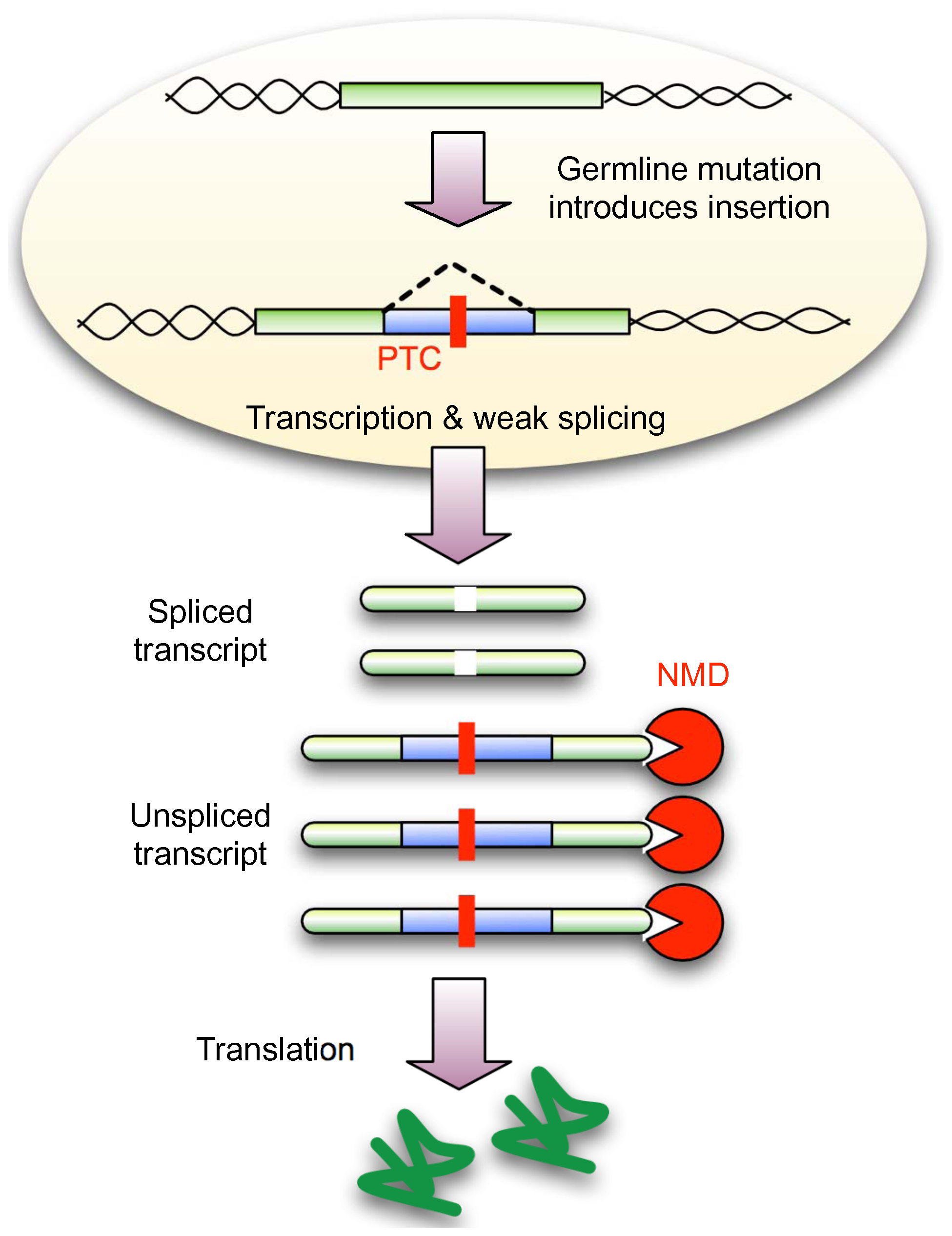 NMD conceals weakly spliced novel introns from selection.